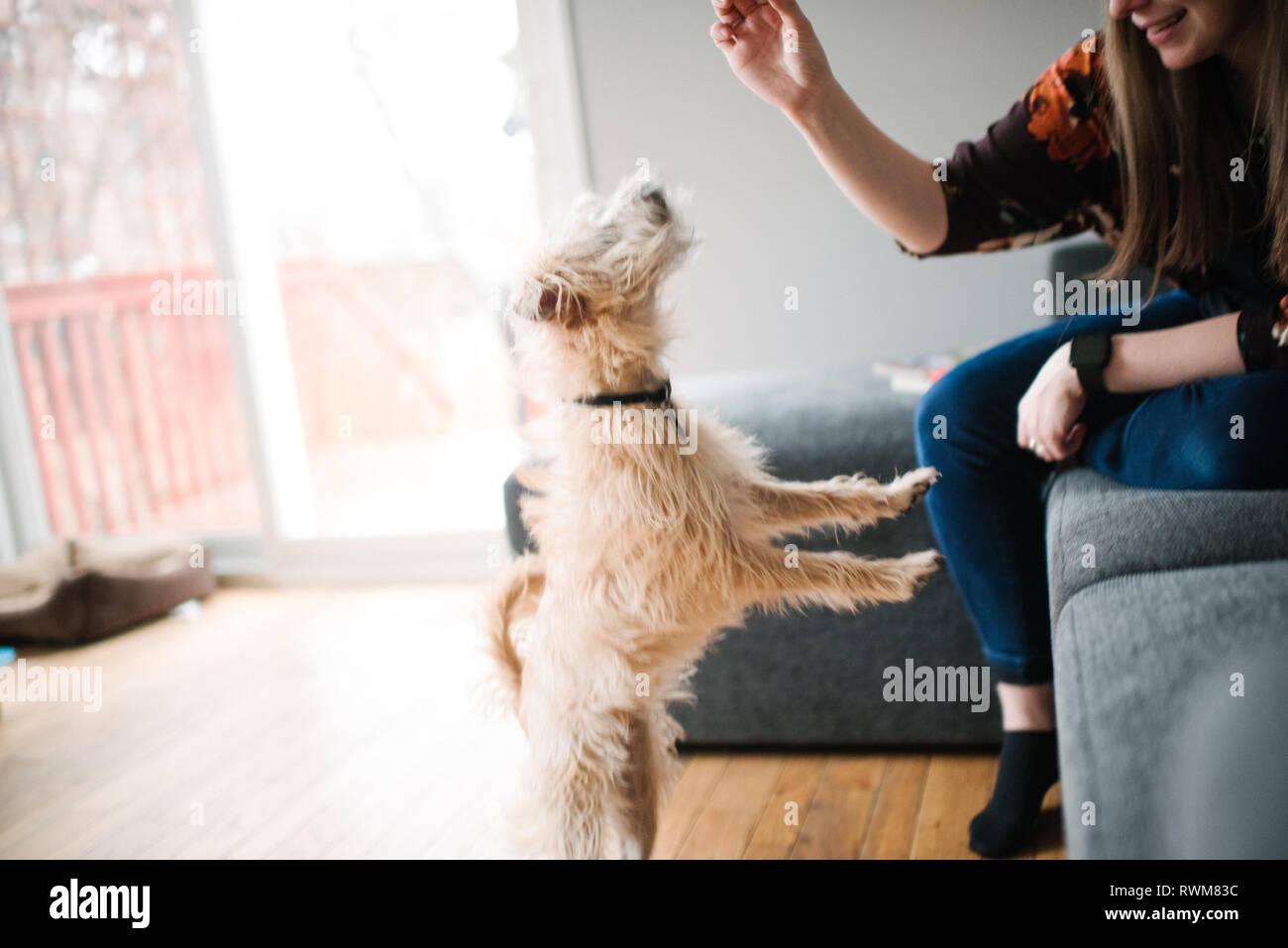 Donna che di addestramento del cane trattare Foto Stock