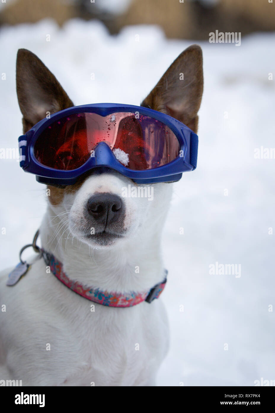 Il Pet ritratto di cane indossando occhiali da sci Immagini Stock