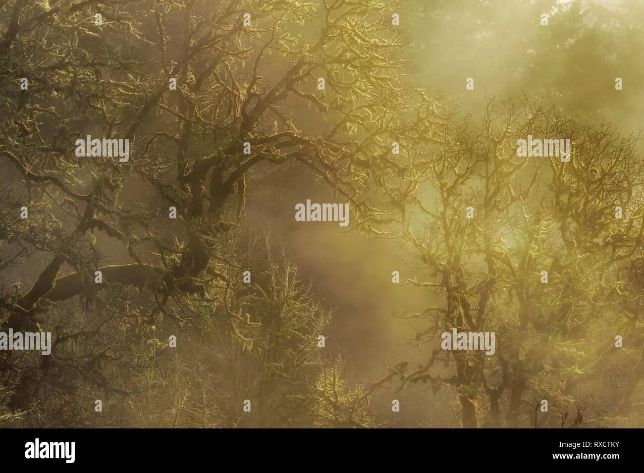 Luce del sole dorato fornisce una scena onirica come rompe attraverso la fitta nebbia in una foresta di alberi. Immagini Stock