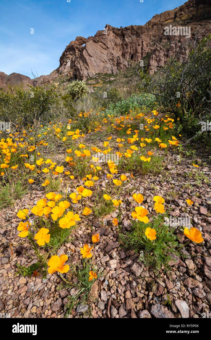 California Papaveri (Eschscholzia californica) ravviva il tubo dell'organo Cactus monumento nazionale, Southern Arizona, Stati Uniti d'America Immagini Stock