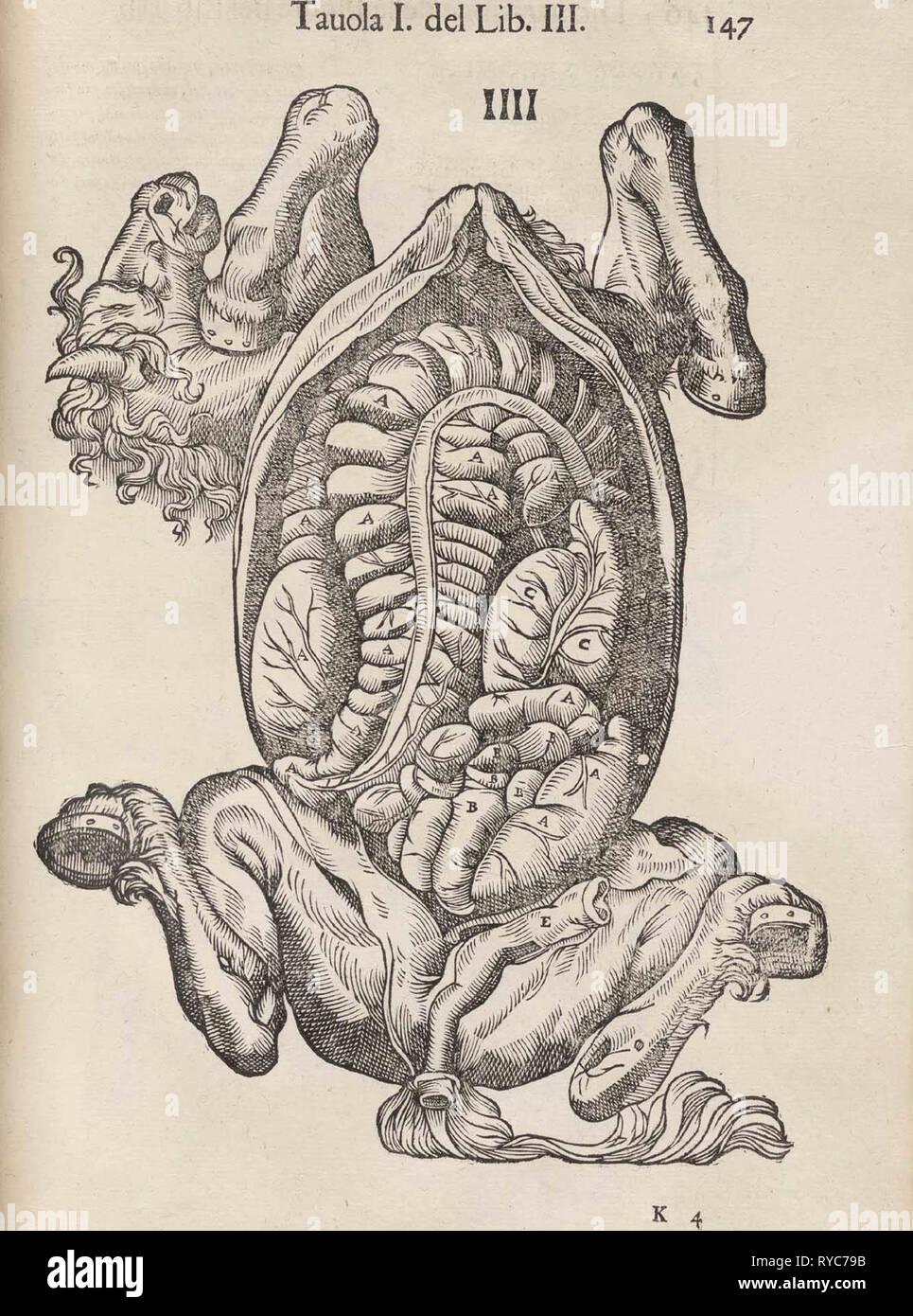 Da Carlo Ruini di anatomia del cavallo. (Venezia, 1618). Immagini Stock