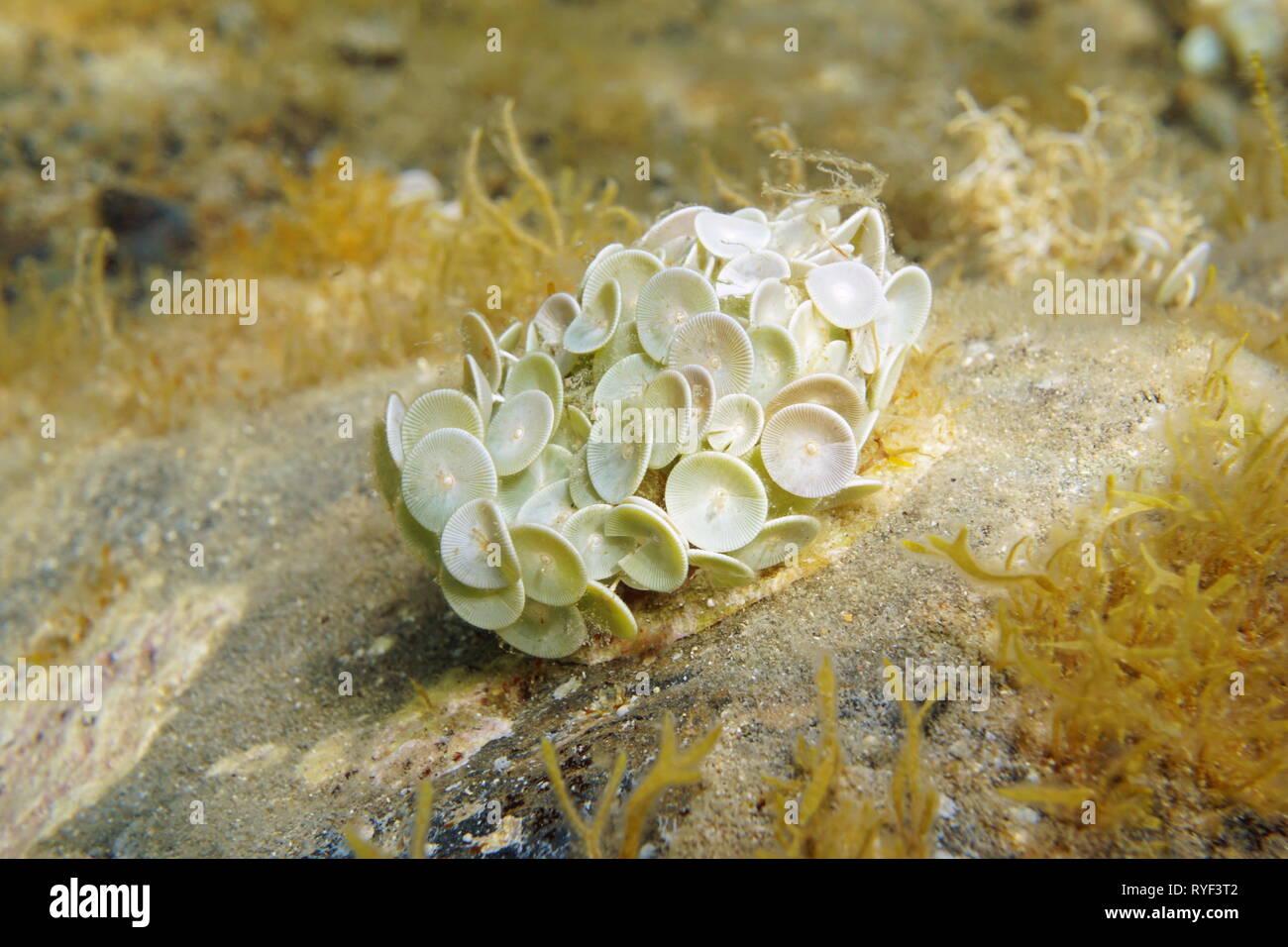 Le alghe Acetabularia acetabolo sott'acqua nel mare Mediterraneo, Spagna Immagini Stock