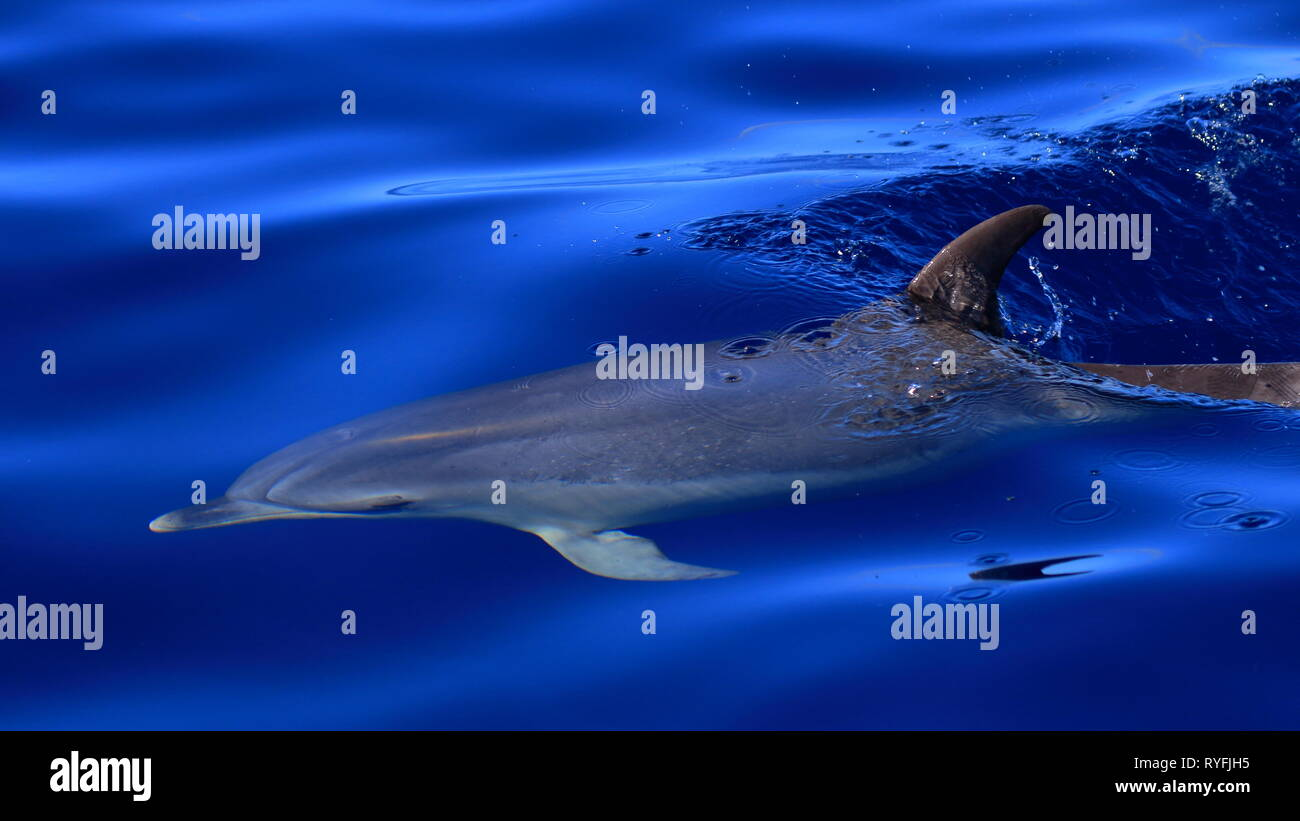 Delphin vor der Küste La Gomeras Immagini Stock