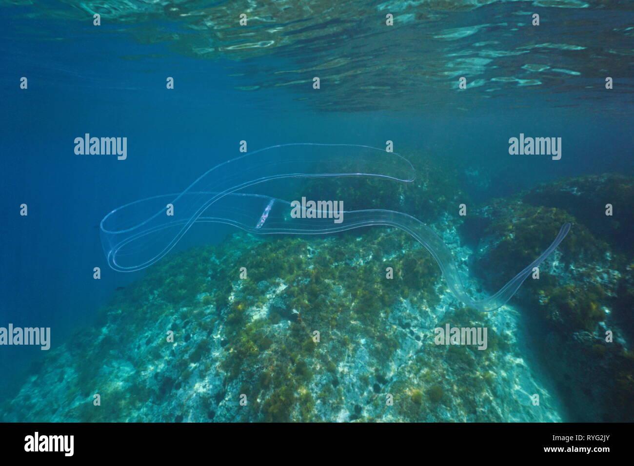 Un corpino di Venere comb jelly Cestum veneris, animale trasparente, subacquea nel mare Mediterraneo, Spagna Immagini Stock