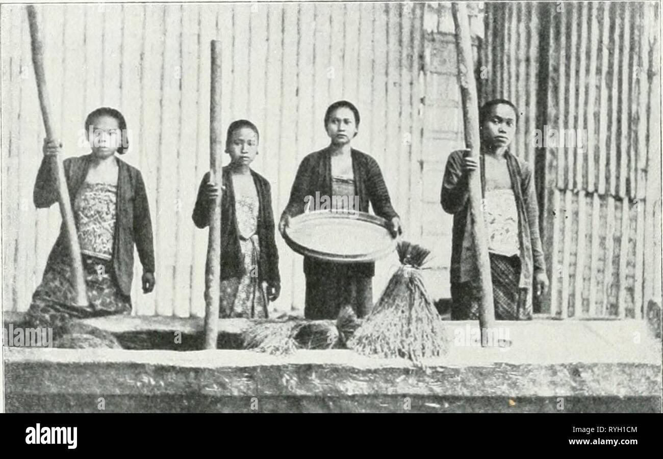 Il dott. K.W. van Gorkom's Oost-Indische culture. Opnieuw uitg. onder redactie van H.C. Prinsen Geerligs. [Porta J.P. van der Stock et al.] drkwvangorkomsoo02gorkuoft Anno: 1917 V. Dorschen, doppen en pellen van de Rijst. Wanneer de rijst goed droog- è, kan zij de verdere bewerkingen ondereaan. ≪0-^ * Ê^^^8I^^^^ Fig. IQ. Rijststampen. Gli uomini onderscheidt daarbij dorschen het, het doppen en het pellen. Onder dorschen verstaat uomini het scheiden van de gaba en het stroo; onder doppen, het verwijderen van de kroonkafjes van de gaba; onder pellen het verwijderen van de zaadhuid (zilvervlies). Het str Immagini Stock