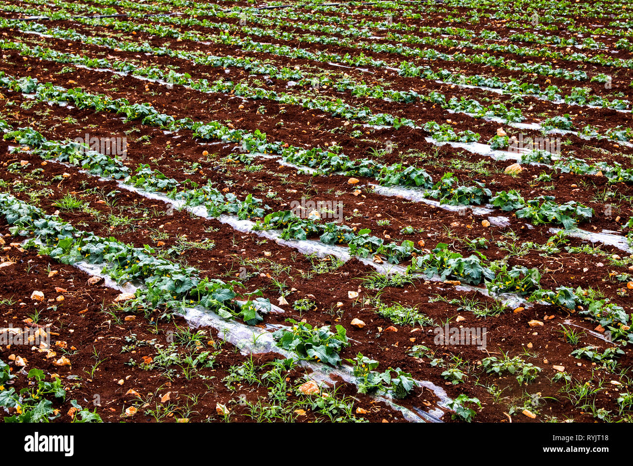 Campo appartenente a Aiman Mohammed Omar Dararmi, un client di acad finanza, in Ras Al Farrah, West Bank, Palestina. Immagini Stock