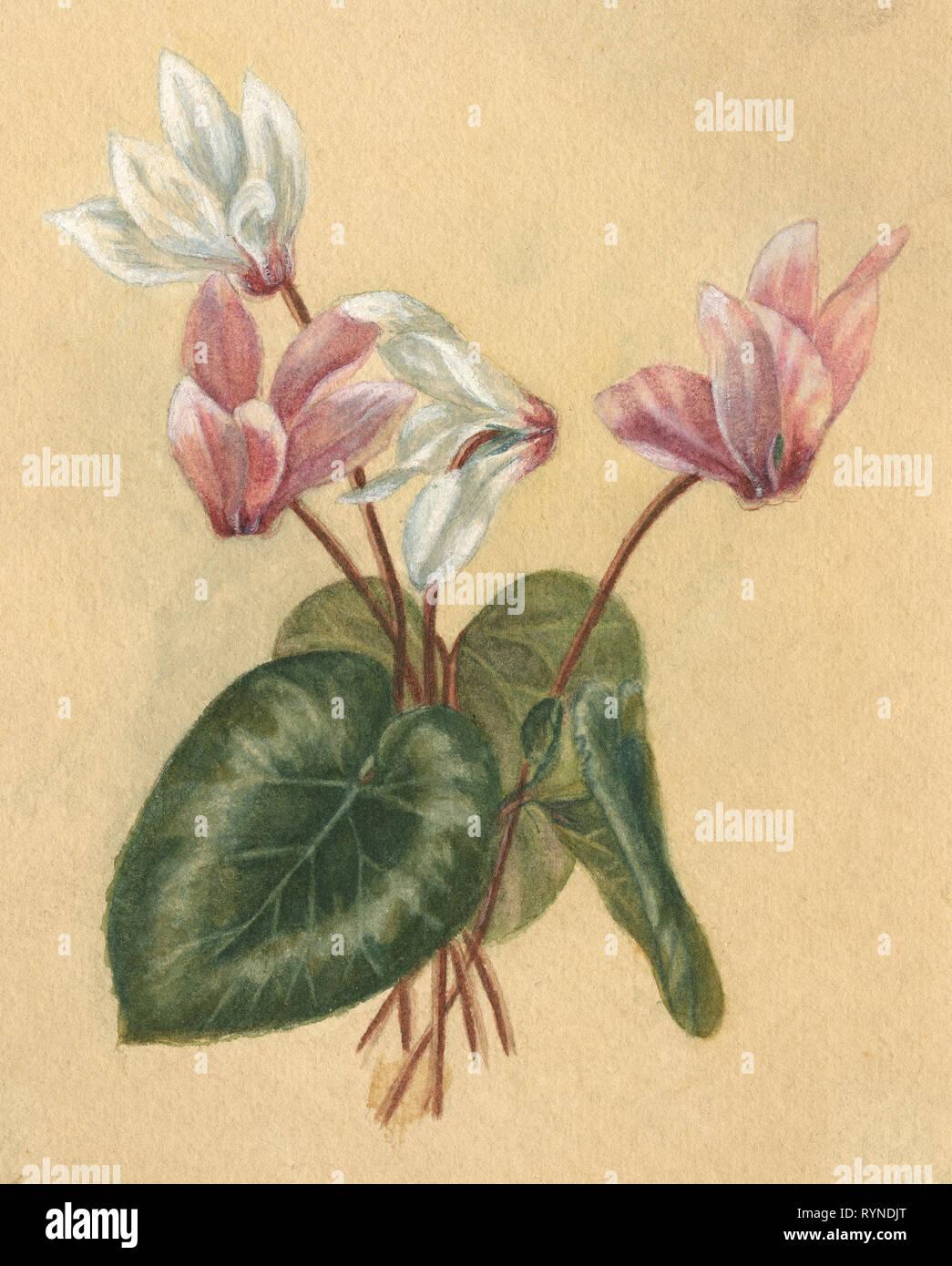 Antique c1890 la pittura ad acquerello di ciclamino (Famiglia Primulaceae) di fiori e foglie. Fonte: Dipinto originale Immagini Stock