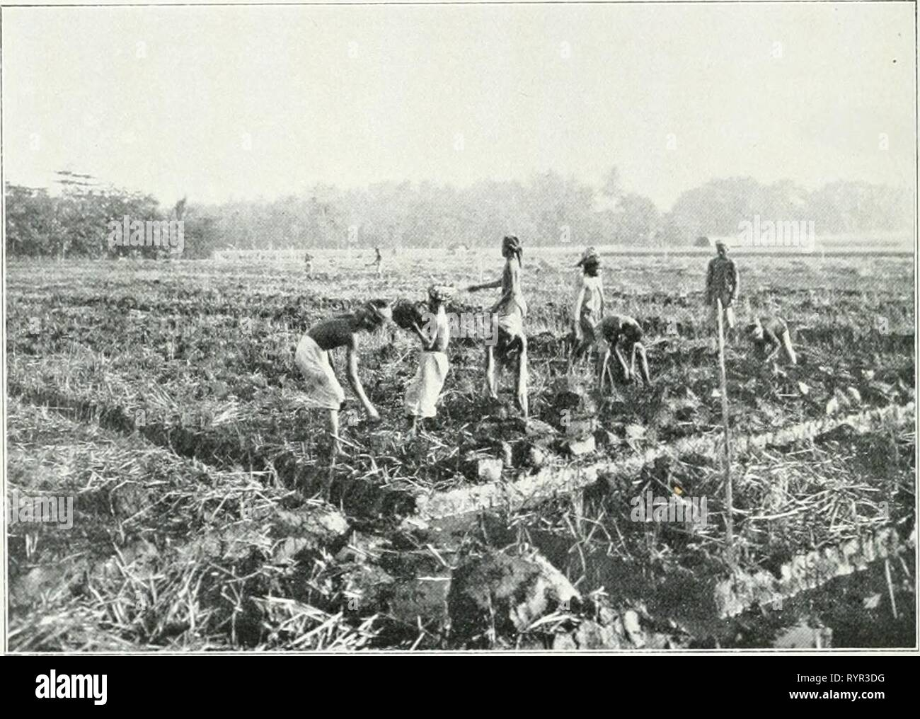 Dr KW van Gorkom's Oost-Indische Dr. K.W. van Gorkom's Oost-Indische culture. Opnieuw uitg. onder redactie van H.C. Prinsen Geerligs. [Porta J.P. van der Stock et al.] . drkwvangorkomsoo02gorkuoft Anno: 1917 134 De veldwerkzaamheden voor de cultuur van het suikerriet essere- ginnen, zoodra de rijst geoogst è di canne gedurende de dagen, waarop de padisnit plaats heeft. Üe grond sia porta den natten rijstbouw gedurende maanden achtereen incontrato acqua verzadigd geweest; sportello de werking van Micro-organismen hebben daarin allerlei reductie-processen plaats gehad en om hem weder voor den rietbouw geschikt Immagini Stock