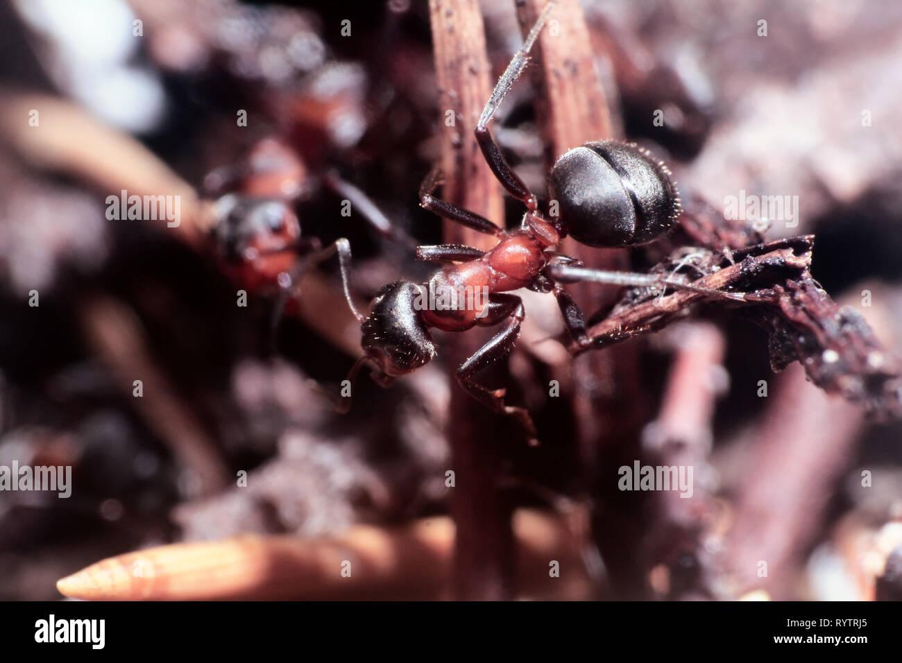 Microcosmo del mondo degli insetti non visibili ad occhio nudo. un insetto, il ritratto di ant Immagini Stock