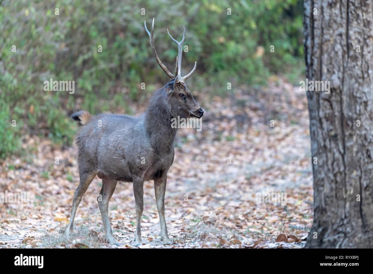 Vulnerabili-elencati Indian sambar deer (Rusa unicolor unicolor) in India Immagini Stock