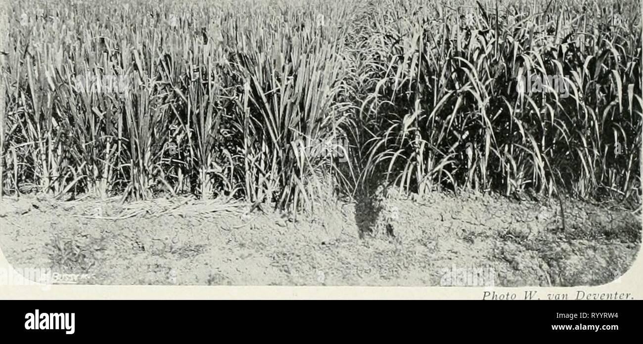 Dr KW van Gorkom's Oost-Indische Dr. K.W. van Gorkom's Oost-Indische culture. Opnieuw uitg. onder redactie van H.C. Prinsen Geerligs. [Porta J.P. van der Stock et al.] . drkwvangorkomsoo01gorkuoft Anno: 1917 170 Bovenstaande gevallen zijn alle terug te brengen tot de aan- wezigheid van een teveel aan plantenvoedende stoften in den grond, tot een schadelijke overmaat, die het winnen van den meest gewenschten oogst in den weg staat. Een door de praktijk sinds lang toegepast middel hiertegen è om een voorgewas, gewoonlijk rijst, het teveel weg te laten nemen en daarna eerst het andere cultuiirg Immagini Stock