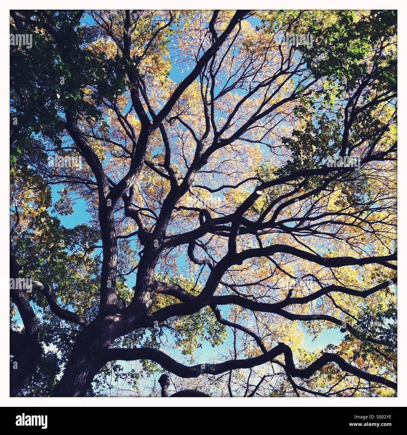 Guardando verso il cielo attraverso un grande vecchio albero Immagini Stock
