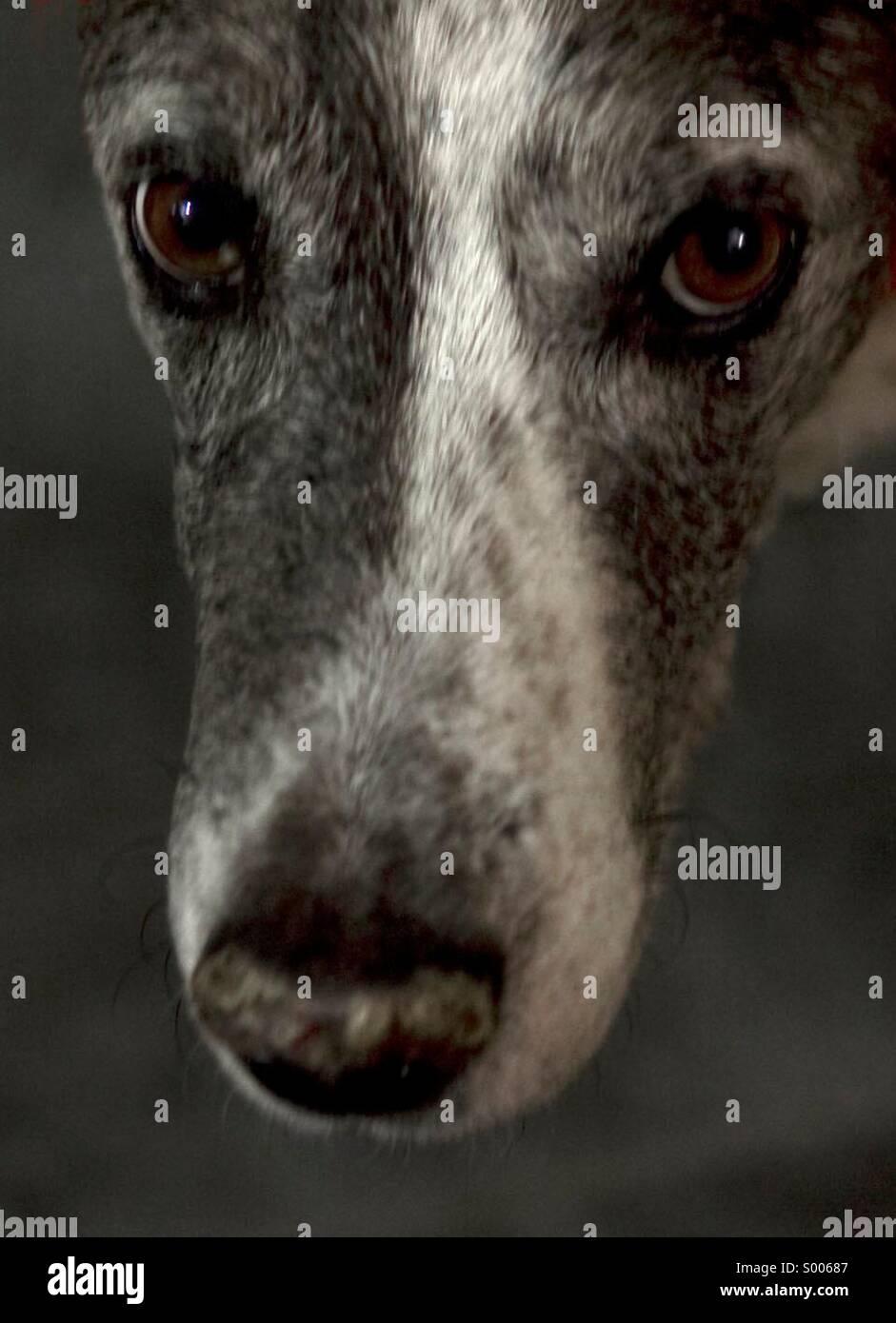 Cane, Catahoula, Razza, viso, guardando la telecamera, Pet, animali addomesticati, occhi, Close-up, nessun popolo Immagini Stock