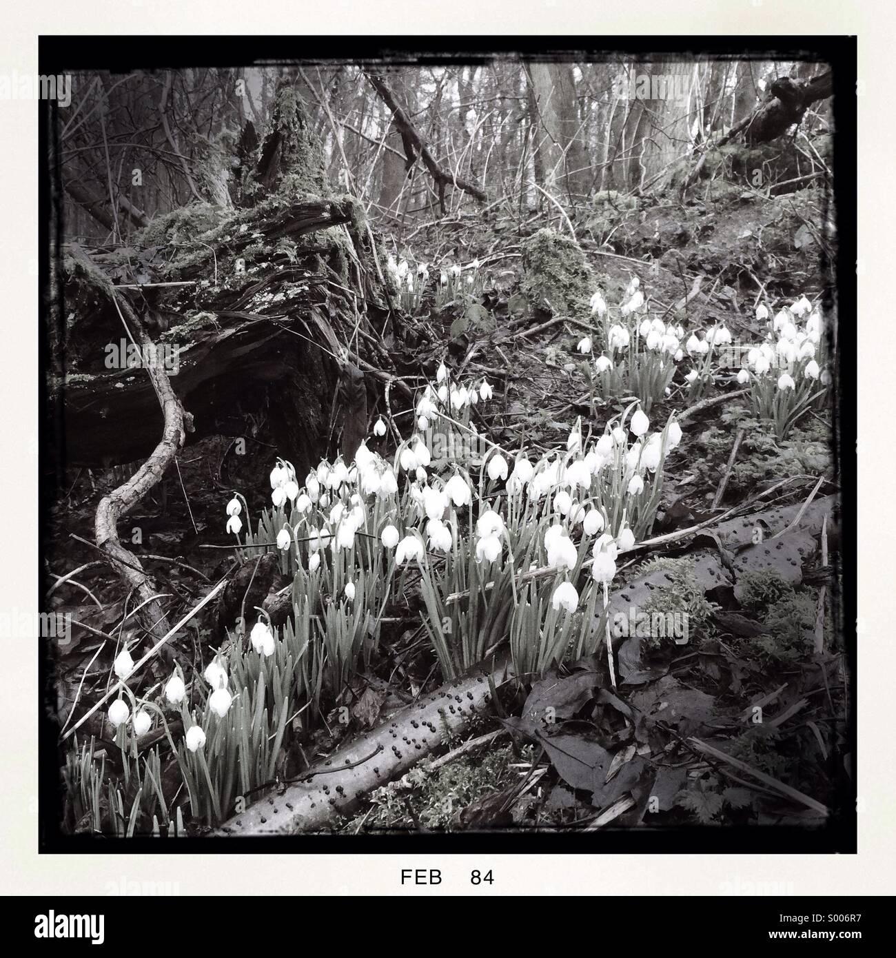 Snowdrops boschi nativi U.K. Immagini Stock