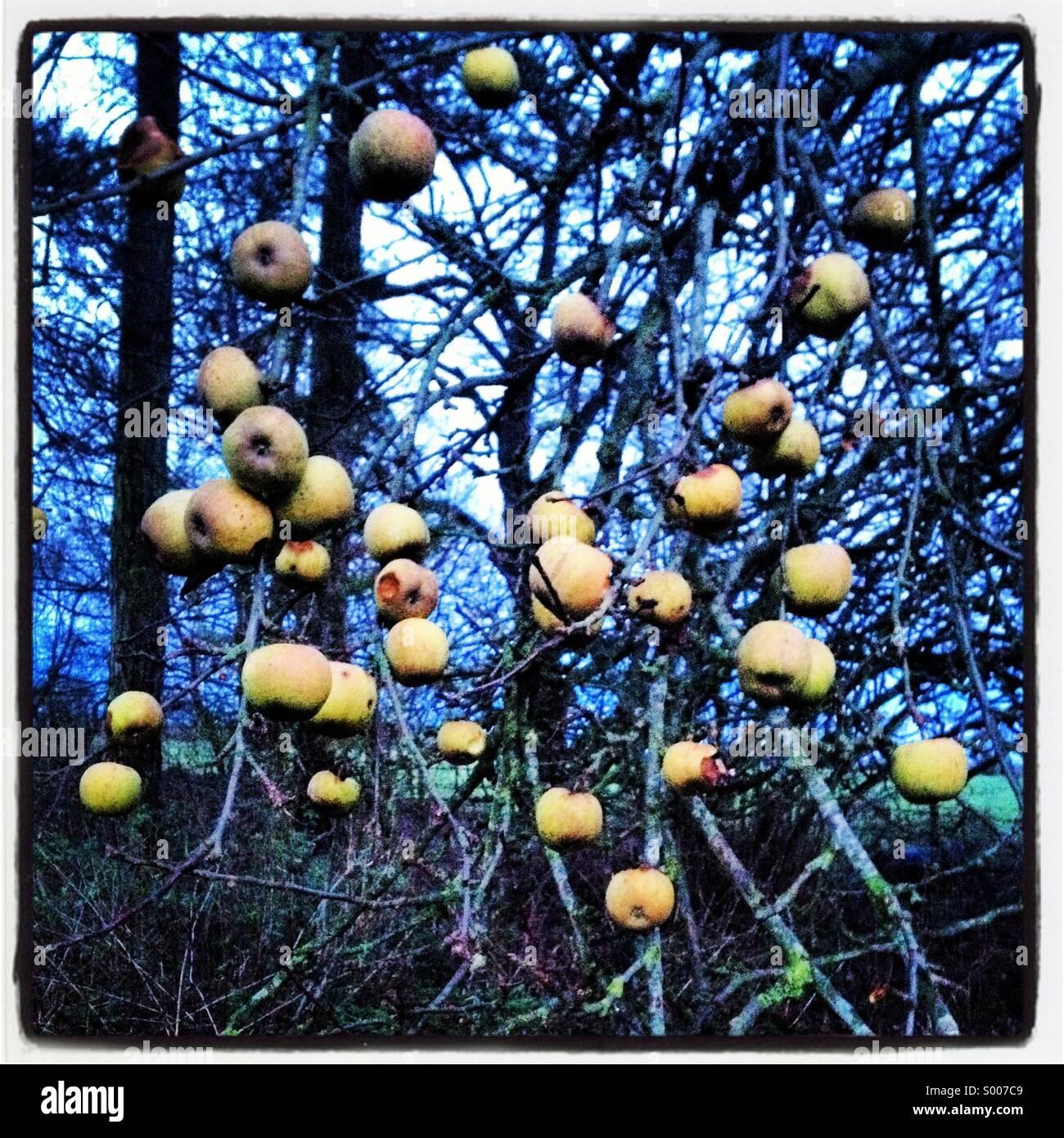 Inverno melo. Immagini Stock
