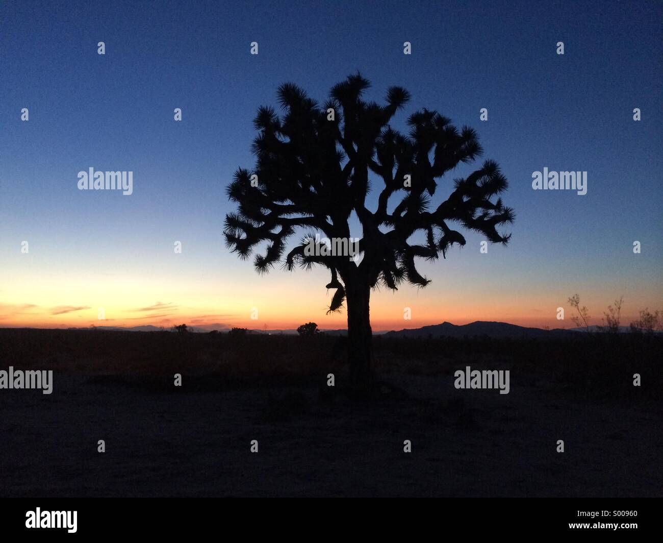 Joshua tree presso il deserto californiano Immagini Stock