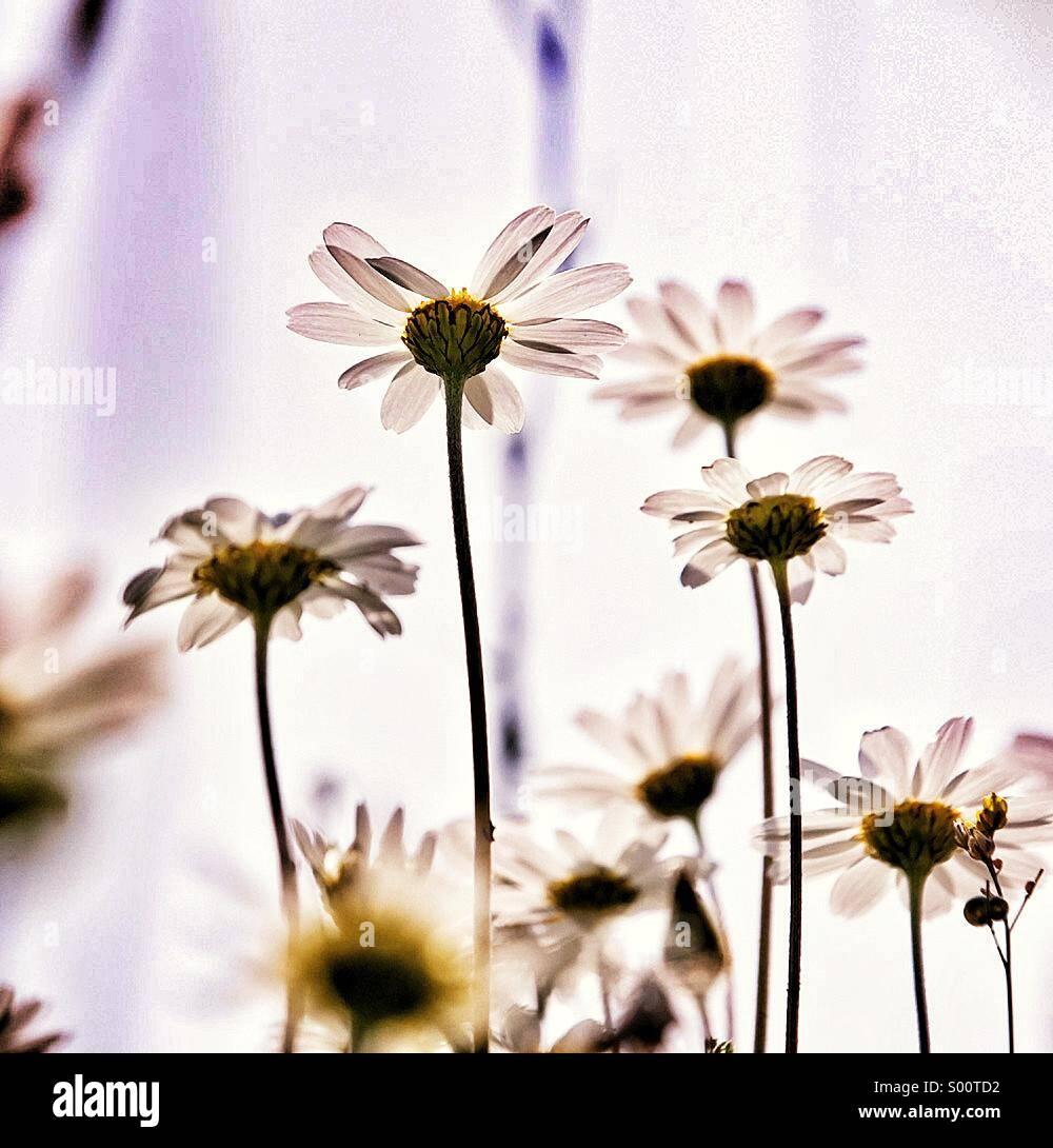 Margherite di primavera Immagini Stock
