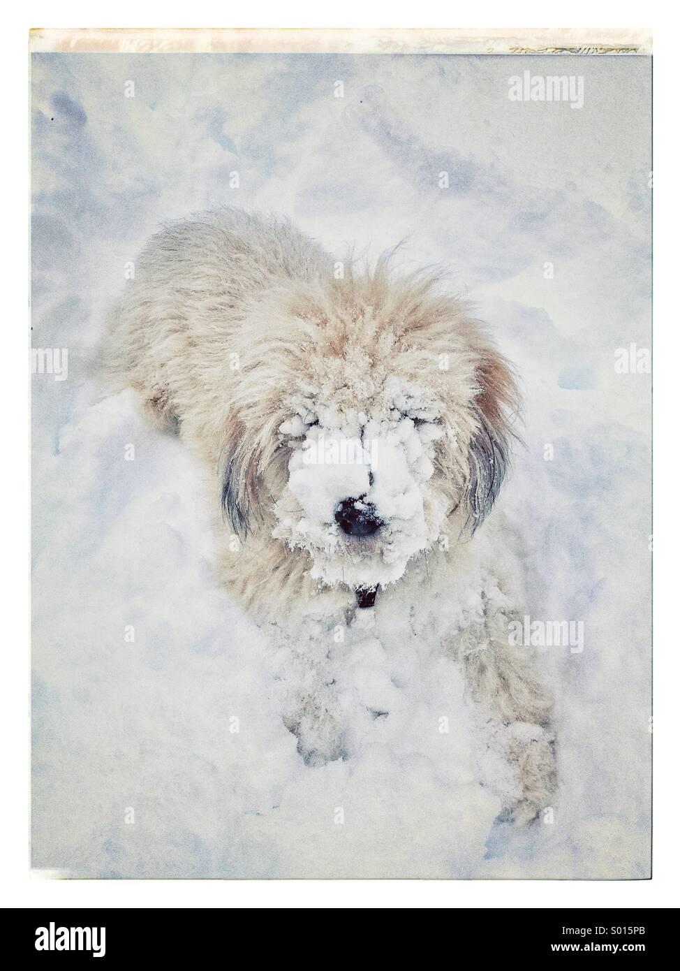 Addominale cane da neve Immagini Stock