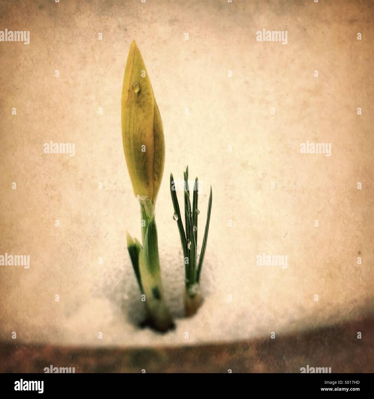 Molla gialla fiore si apre attraverso la neve profonda sul giardino della piantatrice. Immagini Stock