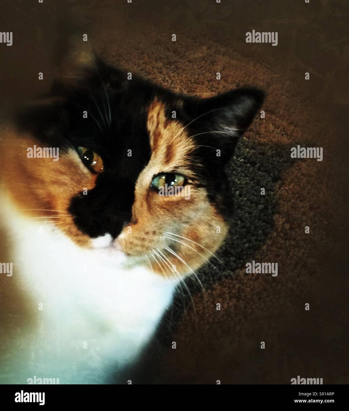 Una bella gatta calico. Foto Stock