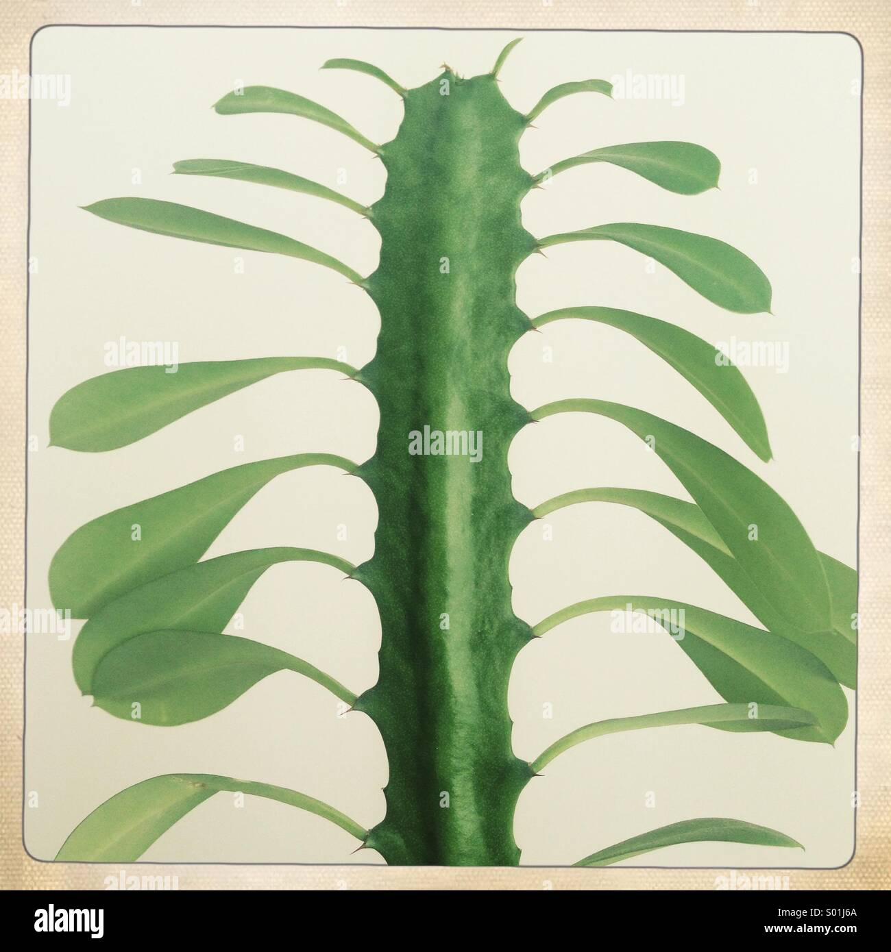 foglie di cactus Immagini Stock