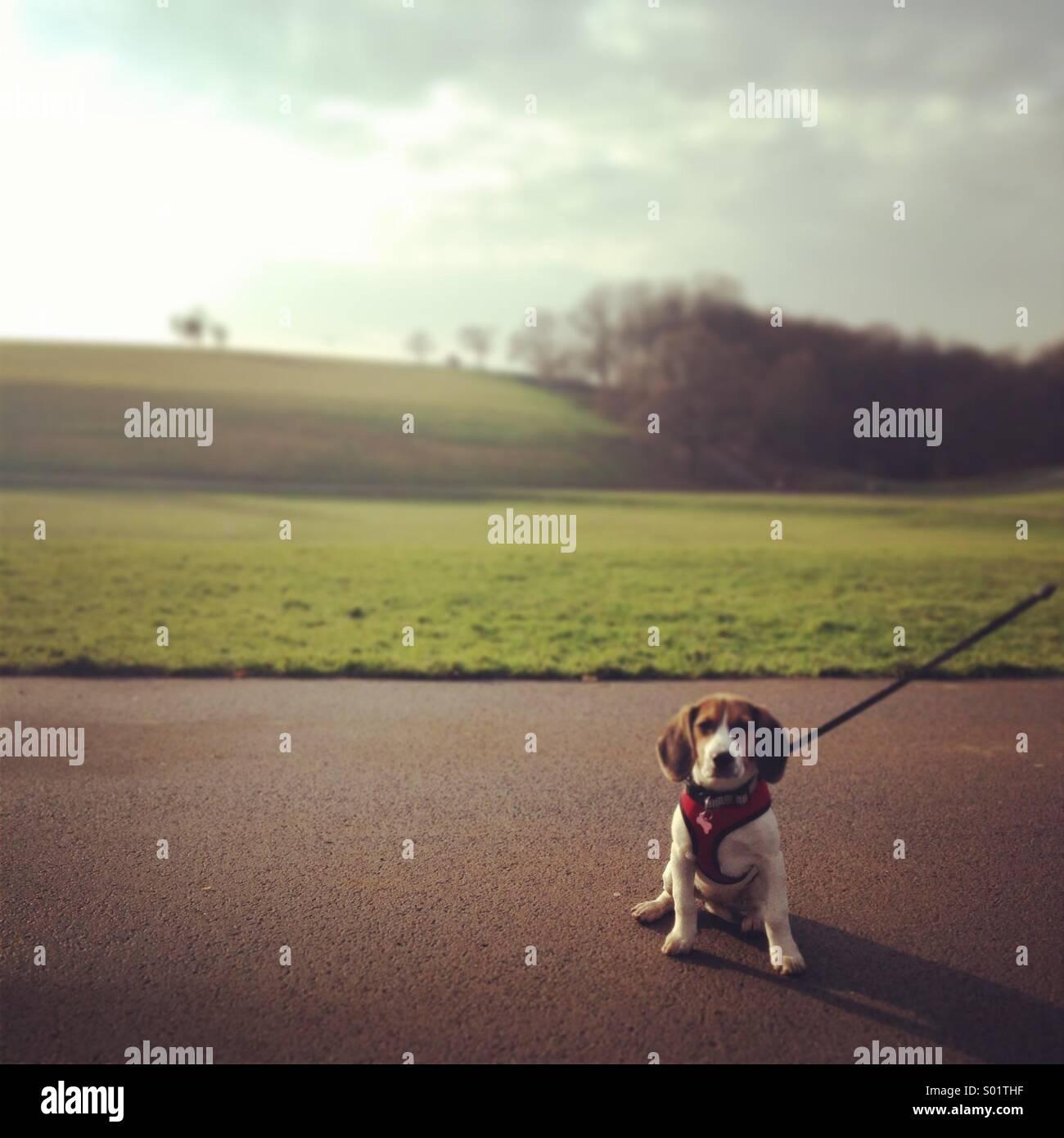 Beagle a piedi Immagini Stock