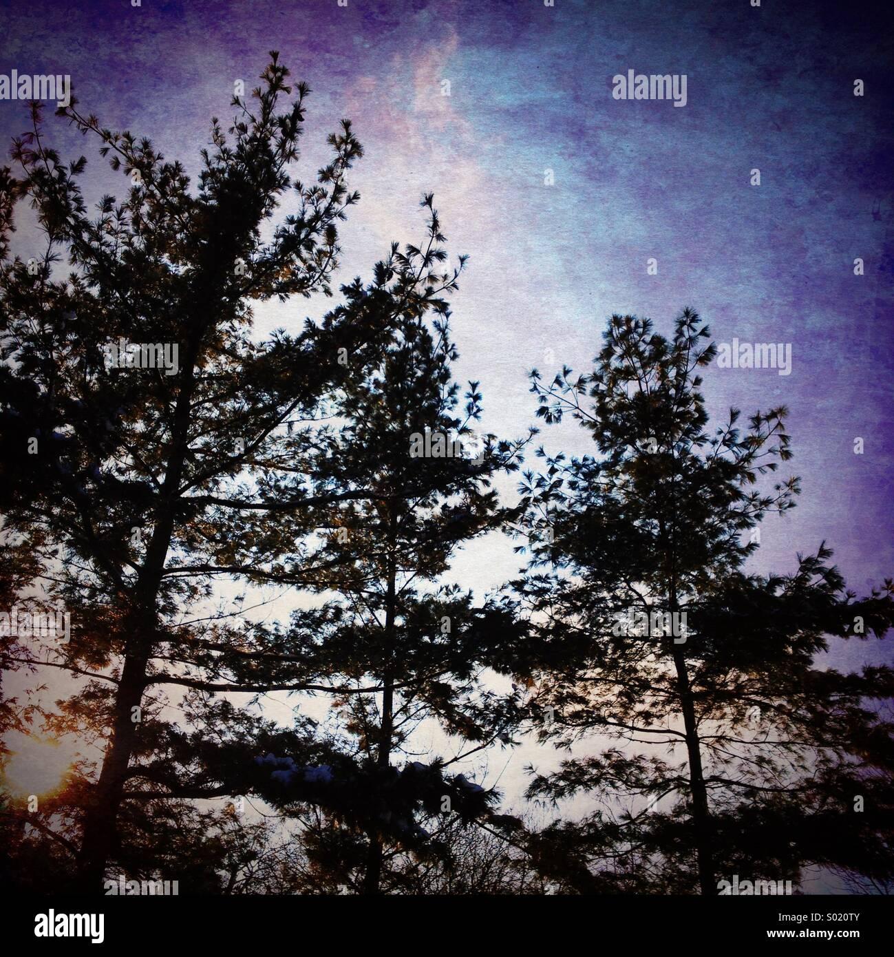 Alberi di pino retroilluminati da sun. Immagini Stock