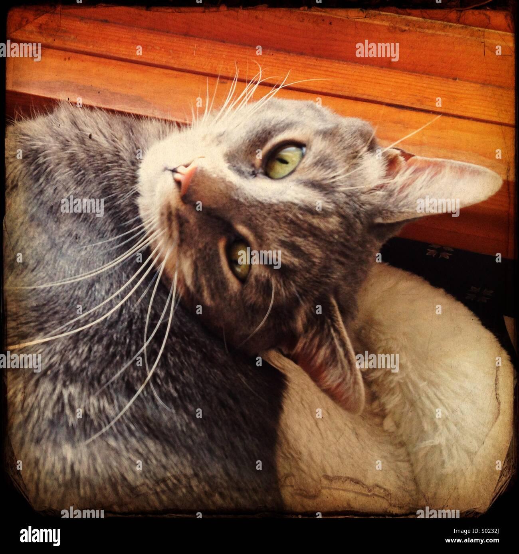 Gatto di tabby grigio. Immagini Stock