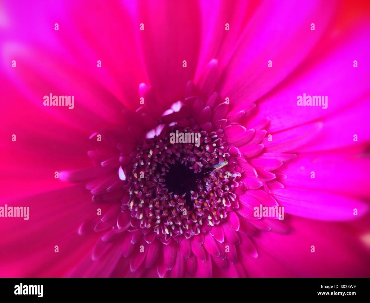Close-up di fiore rosa Immagini Stock