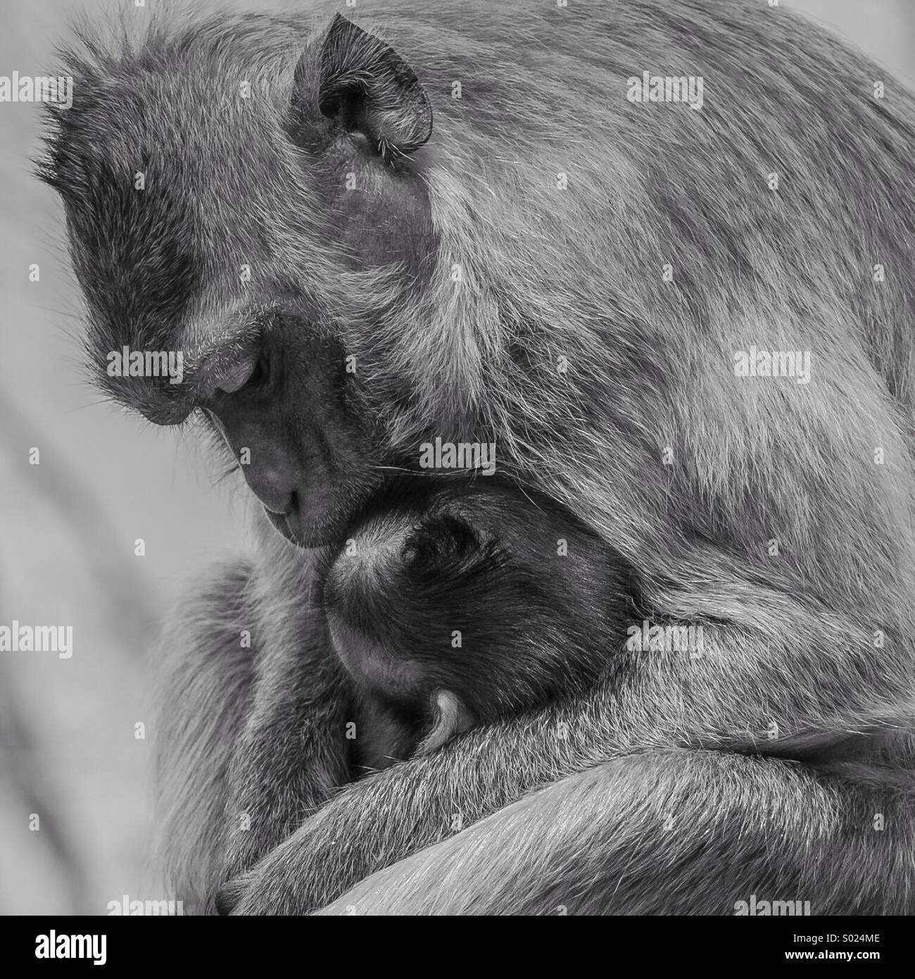 Amore di scimmia Immagini Stock