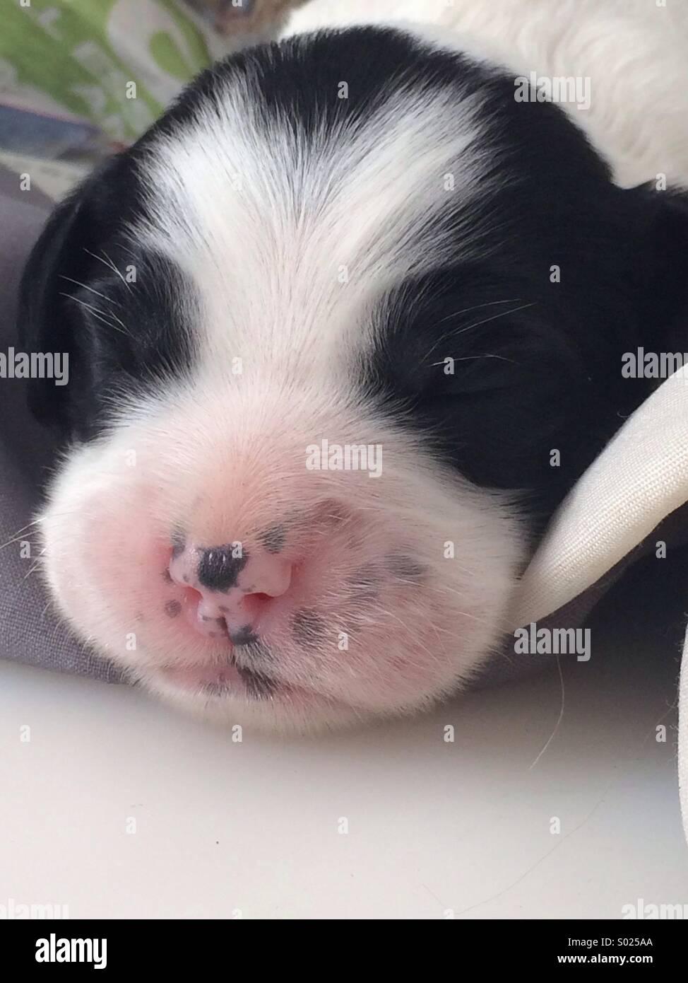 Cucciolo Foto Stock