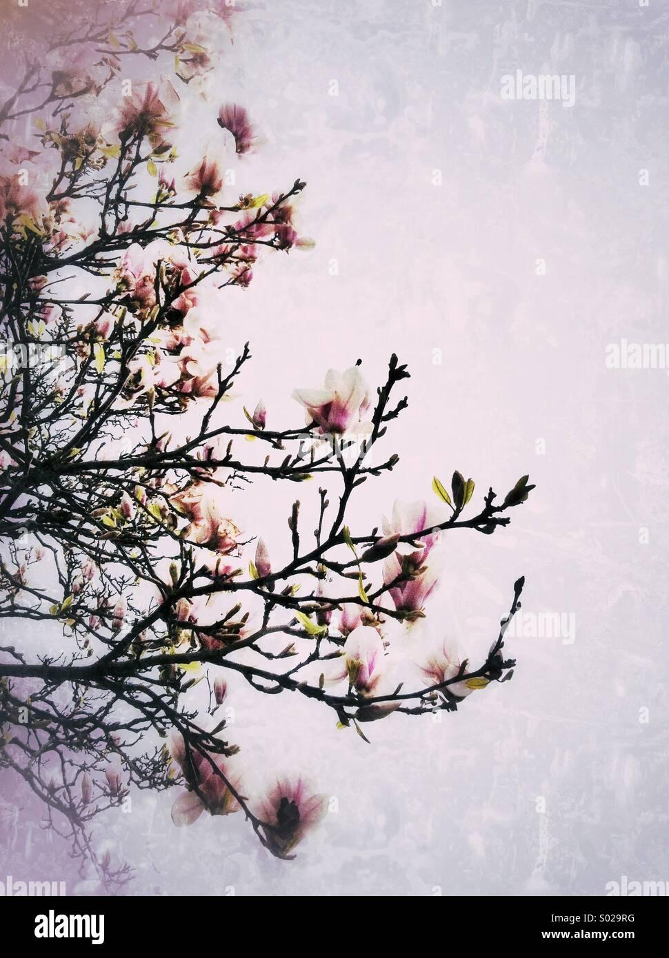 Fiori di Magnolia Immagini Stock