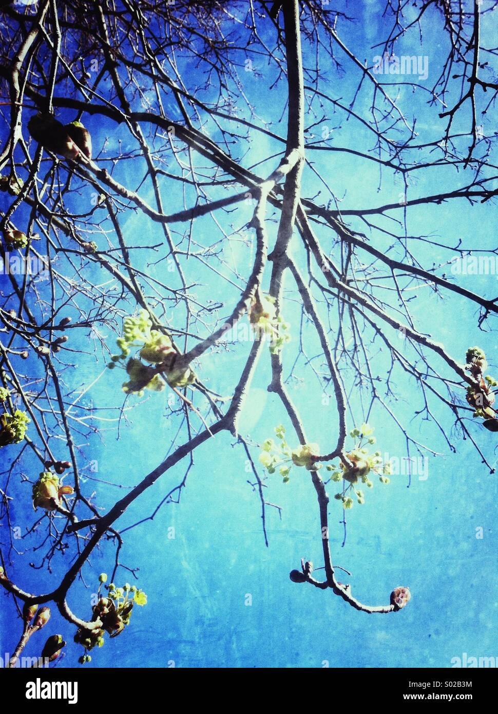 La molla boccioli e fiori sui rami Immagini Stock