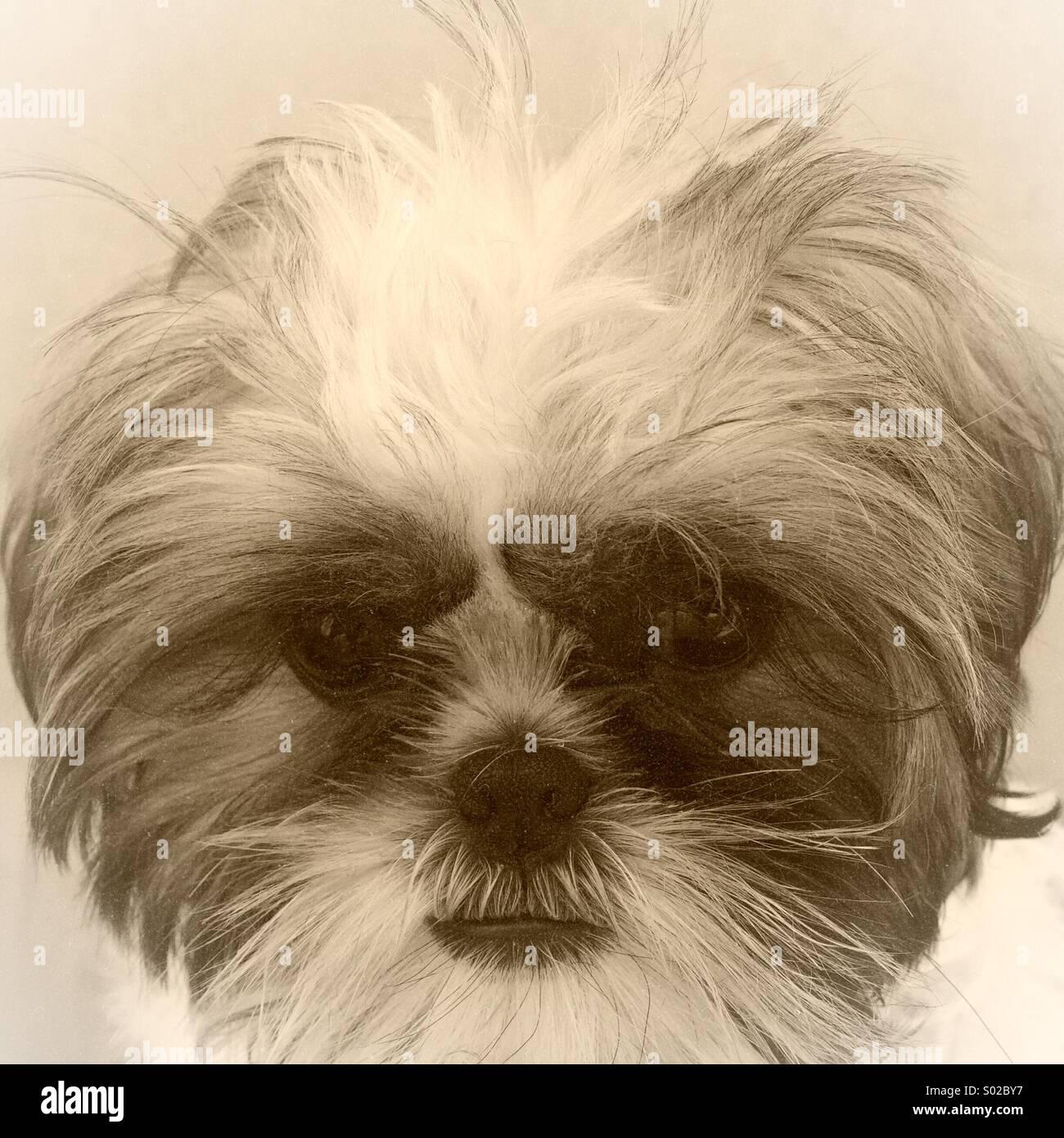 Cucciolo di Shih Tzu Immagini Stock