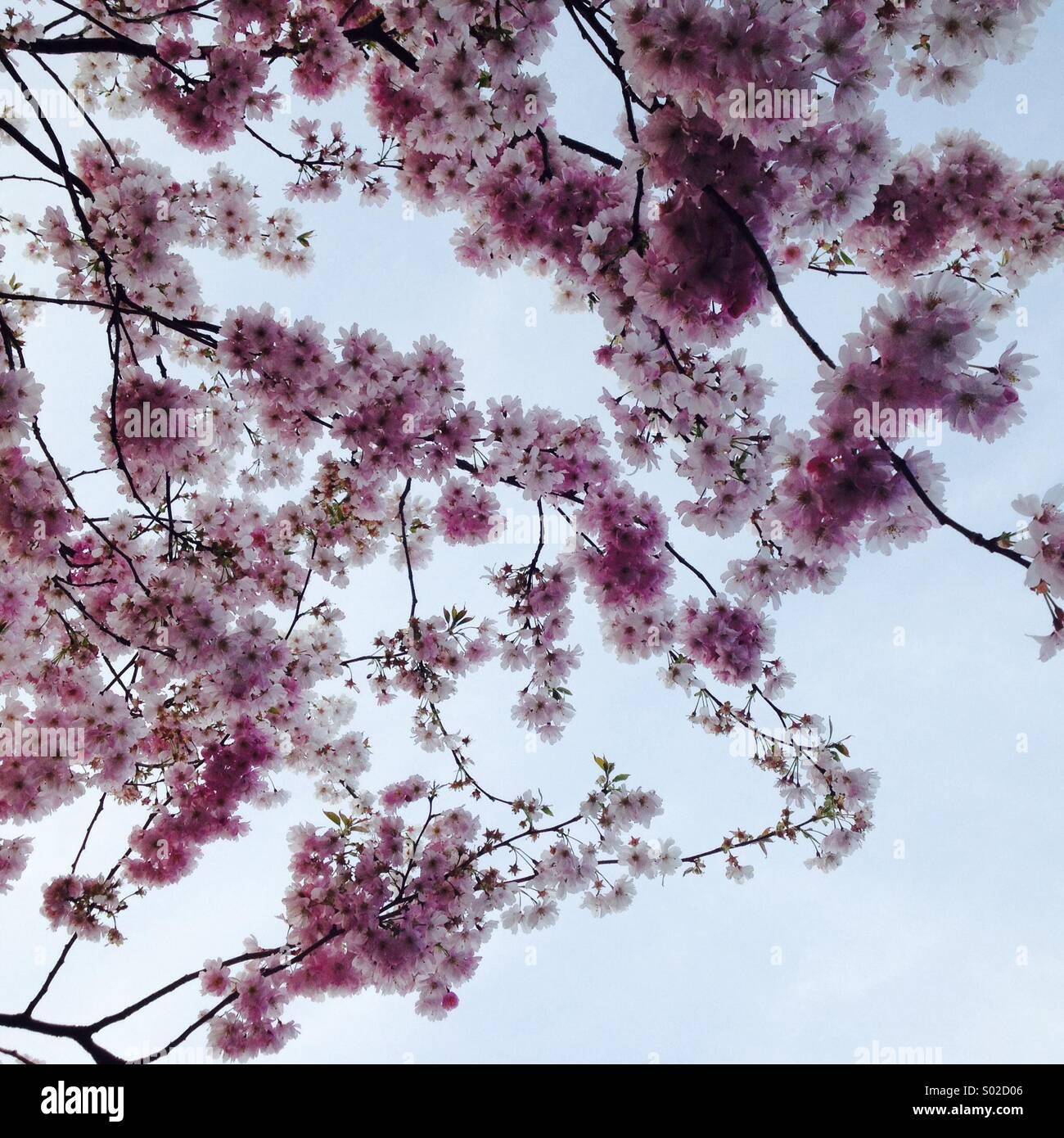 Fiore di Ciliegio Immagini Stock