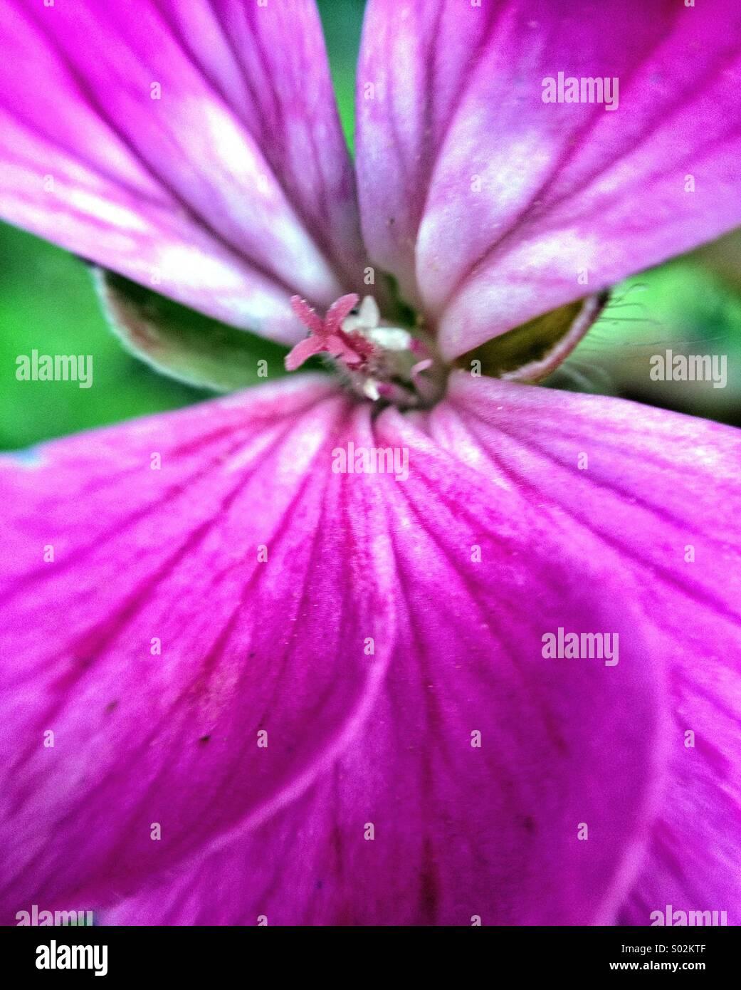 Fiore di geranio, macro Immagini Stock