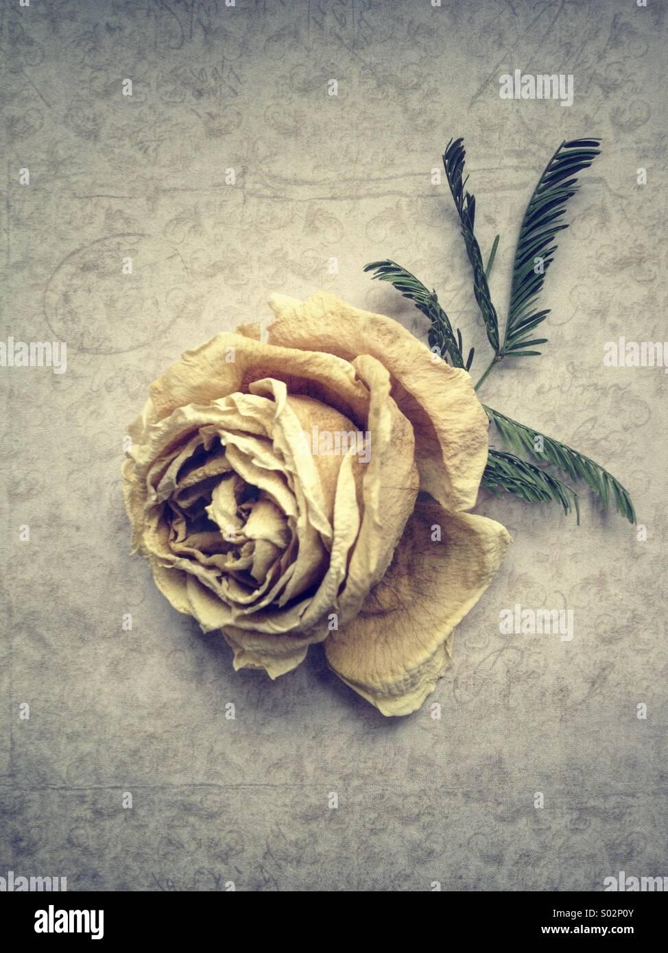 Sbiadito Rose Immagini Stock