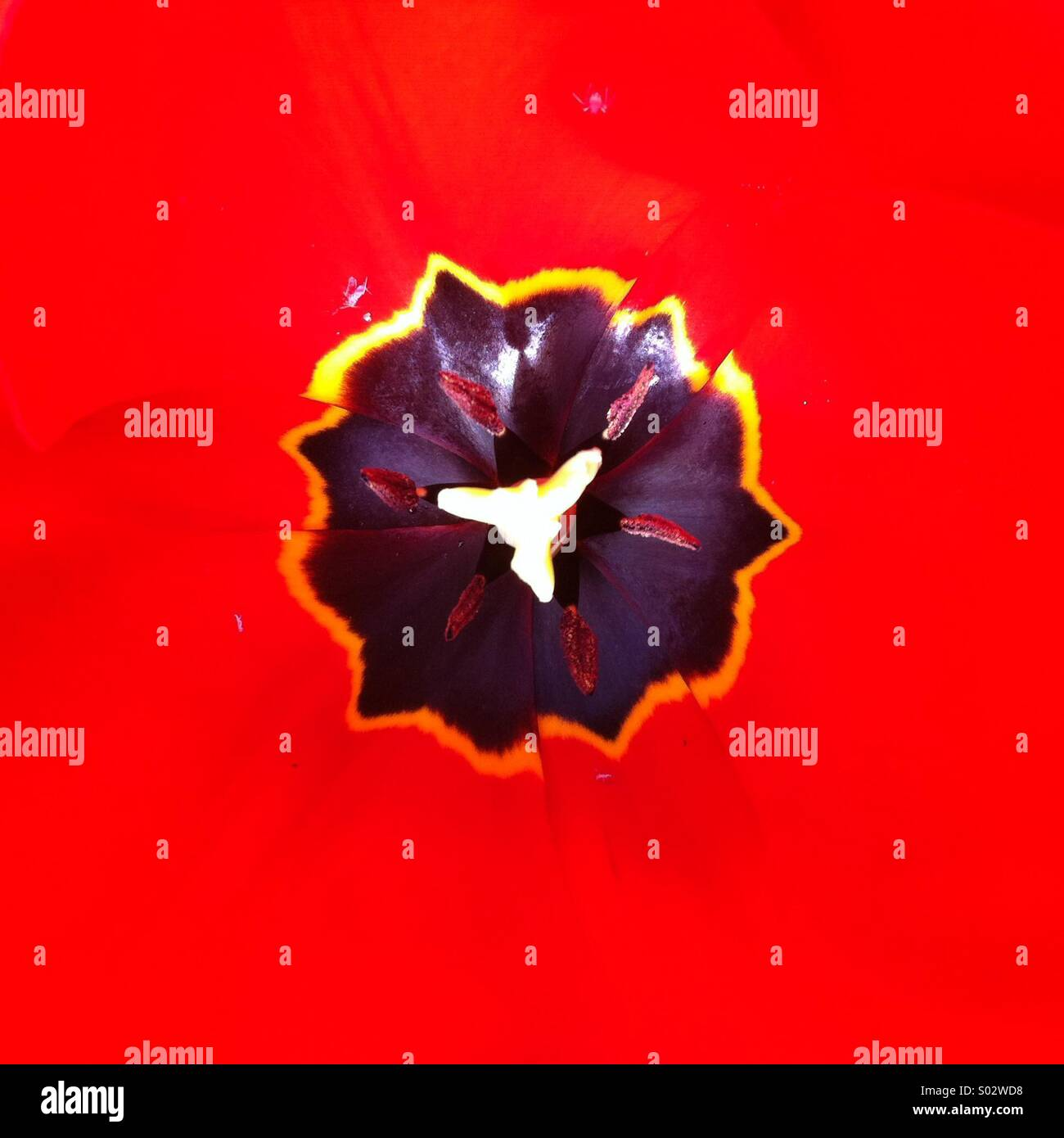 Nero di forma irregolare su un forte sfondo rosso Tulip flower close up Immagini Stock