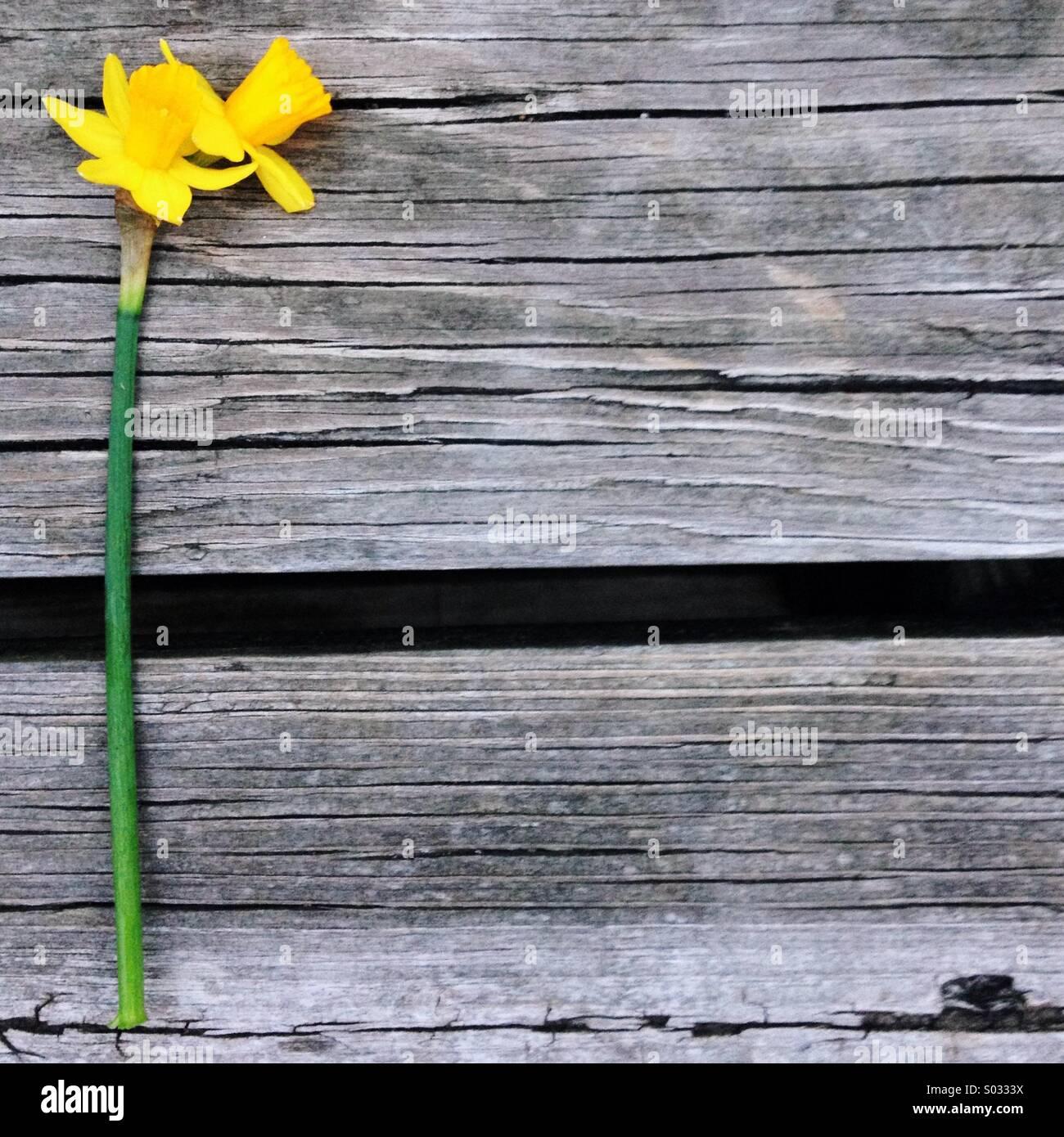 Una doppia testa daffodil poggia su un sfondo di legno Immagini Stock