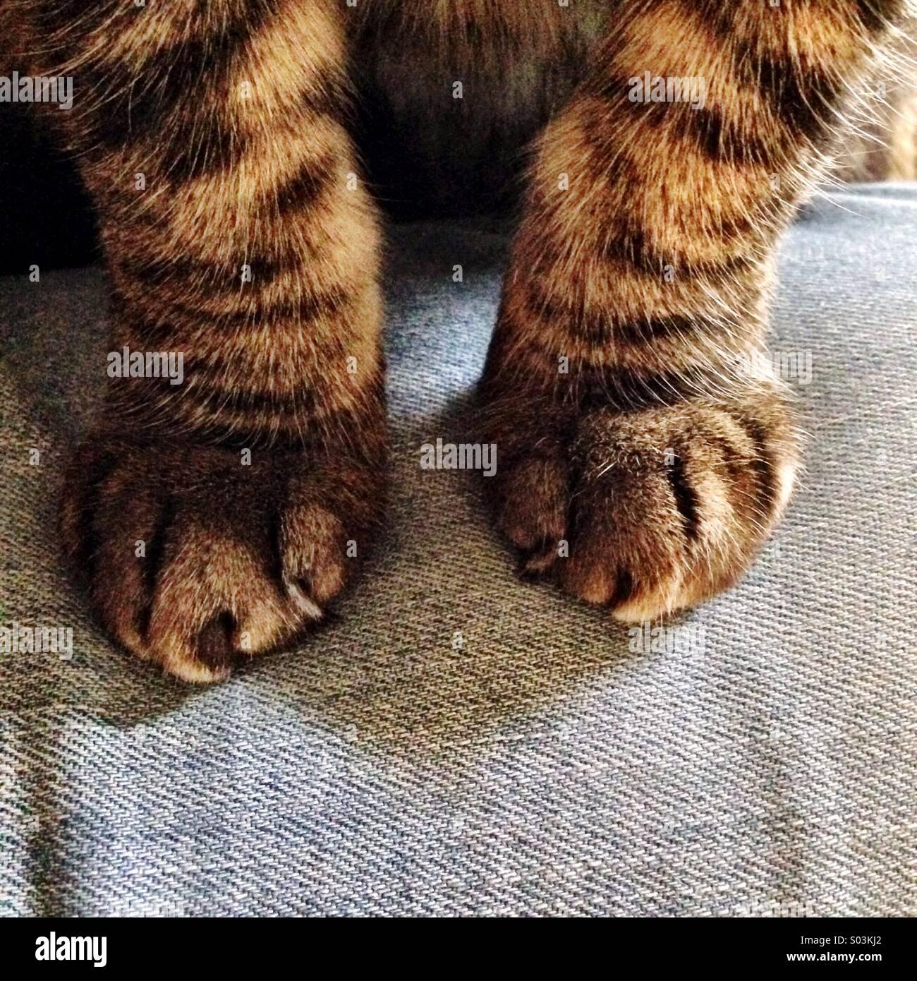 Zampe di gatto Immagini Stock