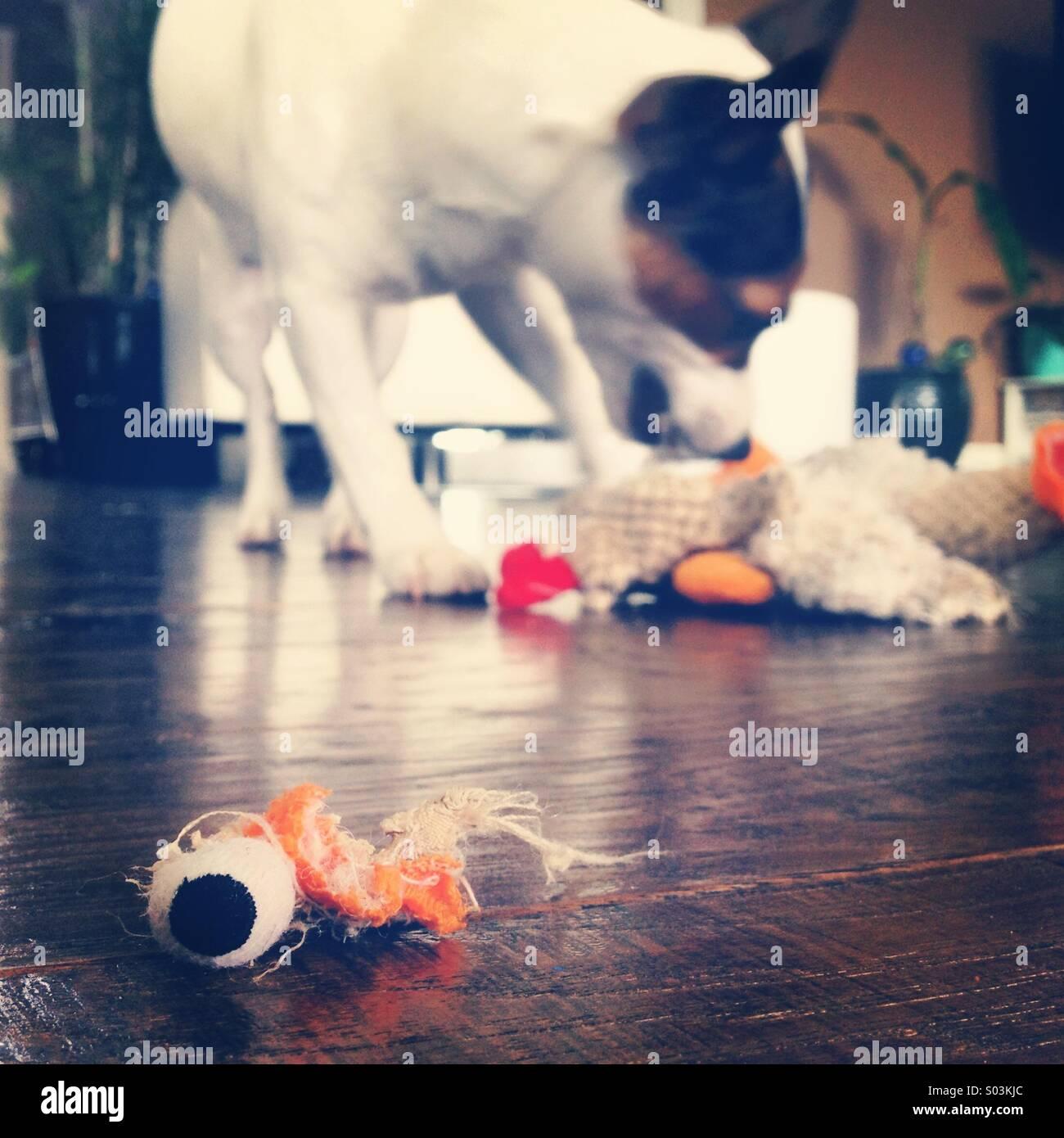 Otto-mese-vecchio Jack Russell Terrier cucciolo giocando e distruggendo il suo giocattolo stuffy del pollo. Nessuna Immagini Stock