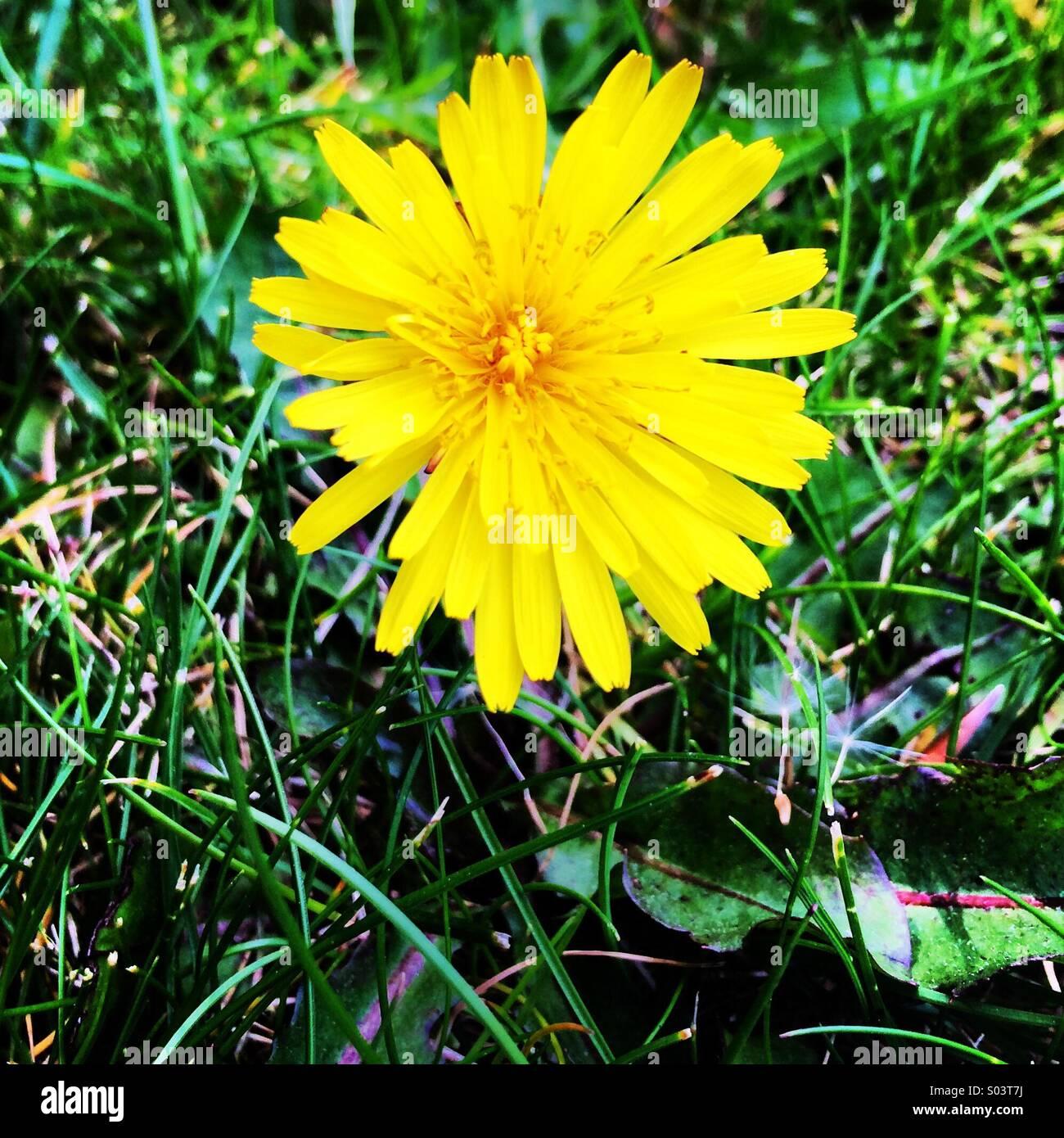 Fiori Gialli Tarassaco.Fiore Giallo Tarassaco Weed Fiore Foto Immagine Stock 309871510