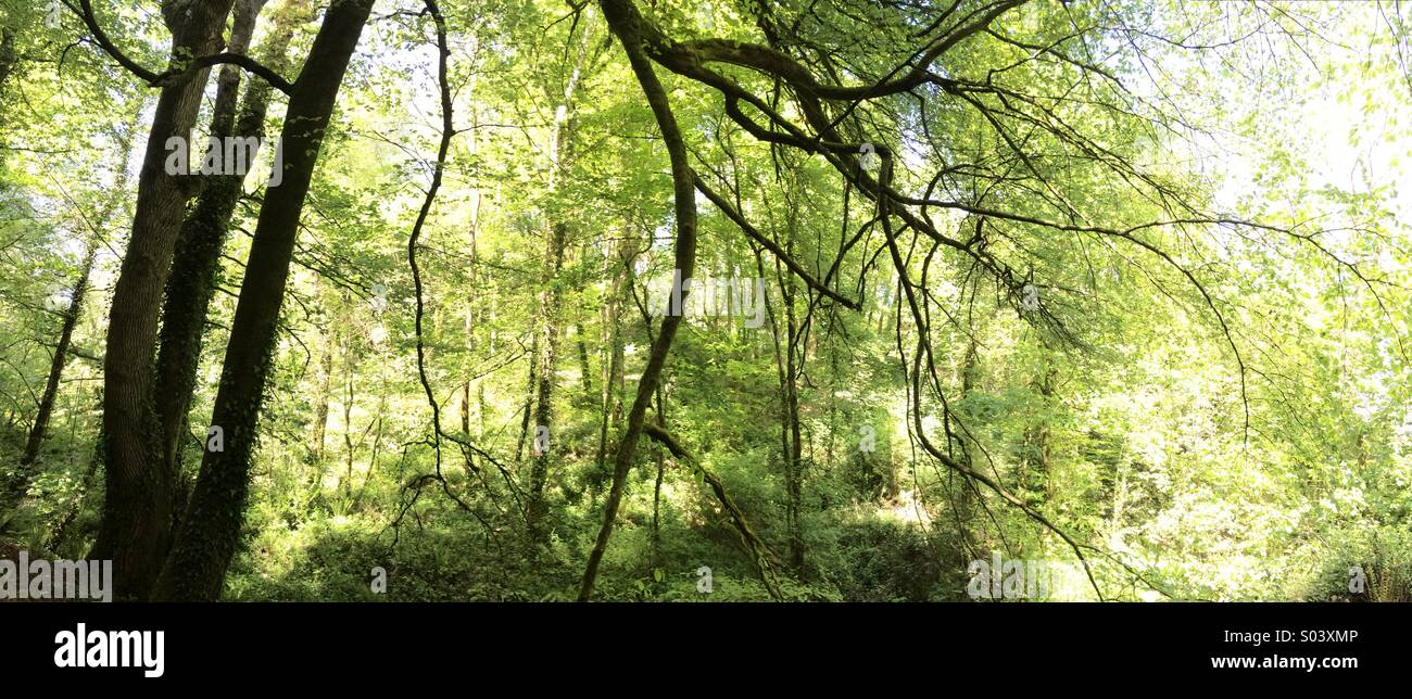 Panoramica scena di bosco, Retroilluminato con luce solare in tarda primavera Immagini Stock