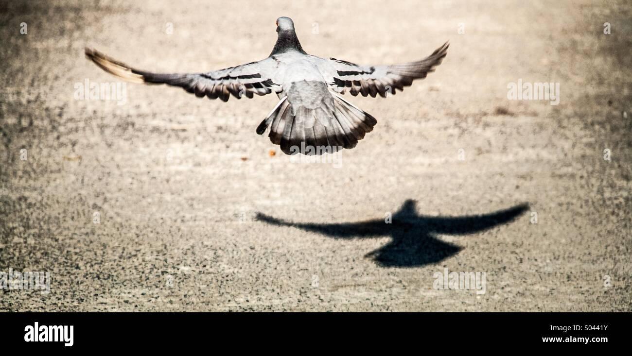 Rock pigeon decollare da terra per mostrare la libertà Immagini Stock