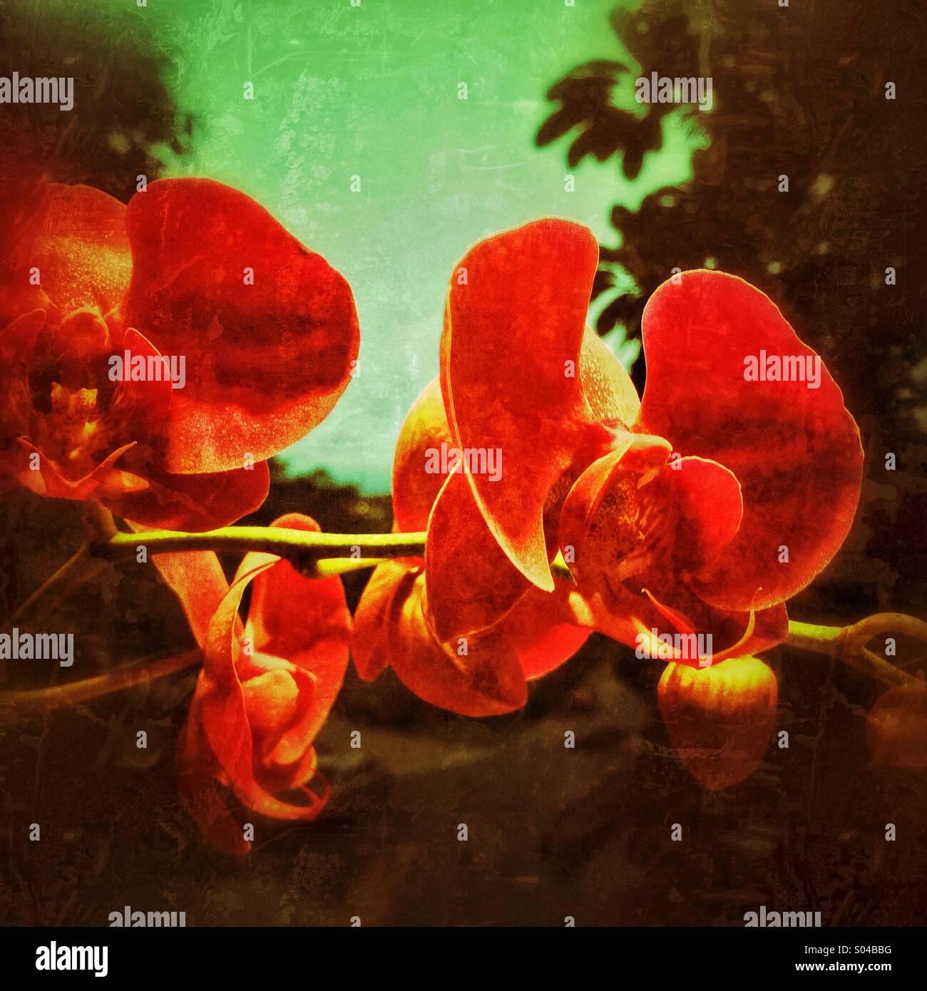 Rosso di fiori di orchidea Foto Stock