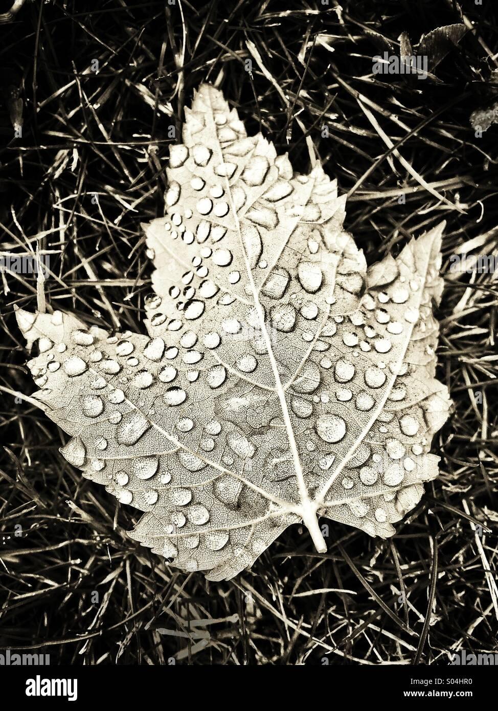 Gocce di rugiada su foglie Immagini Stock