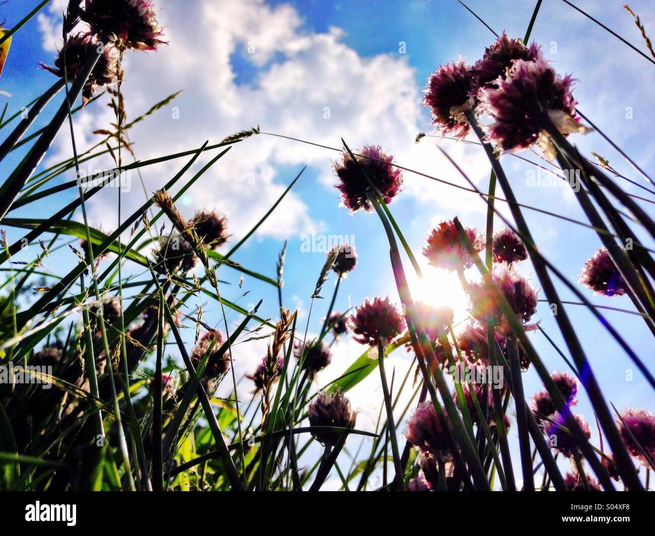Sotto l'erba cipollina. Immagini Stock
