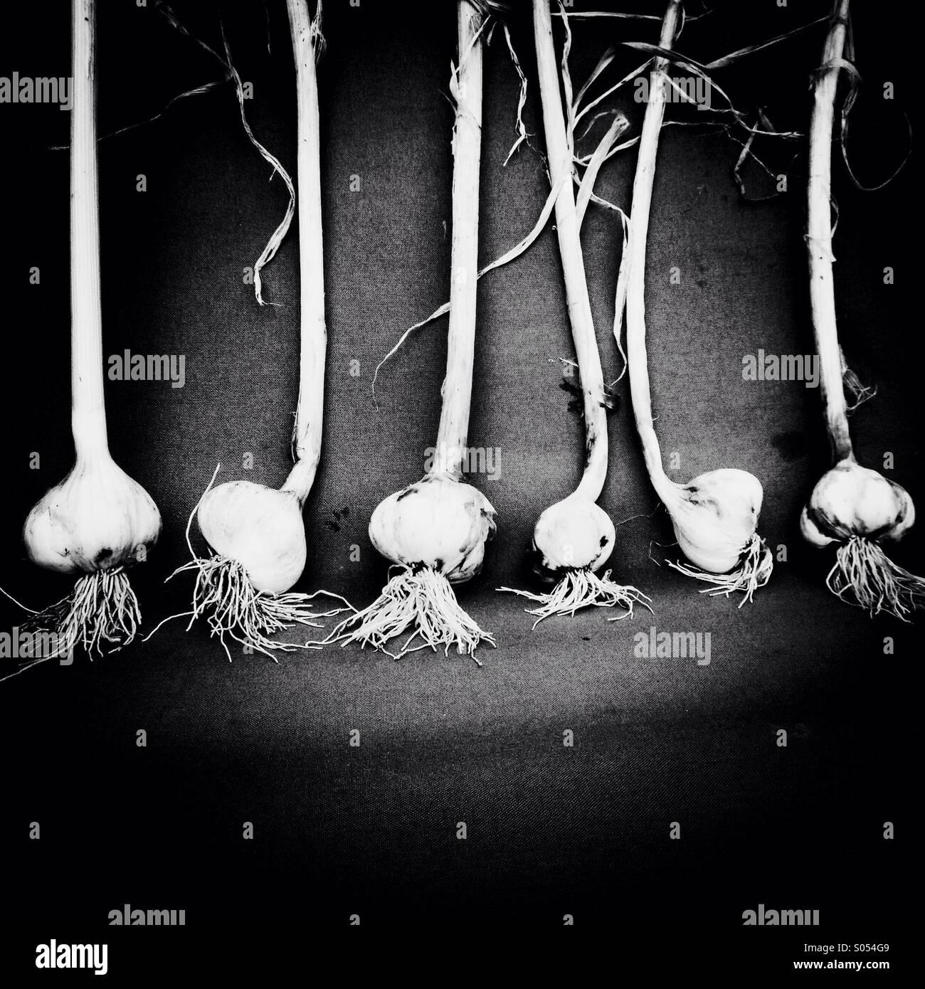 Raccolte di aglio Immagini Stock