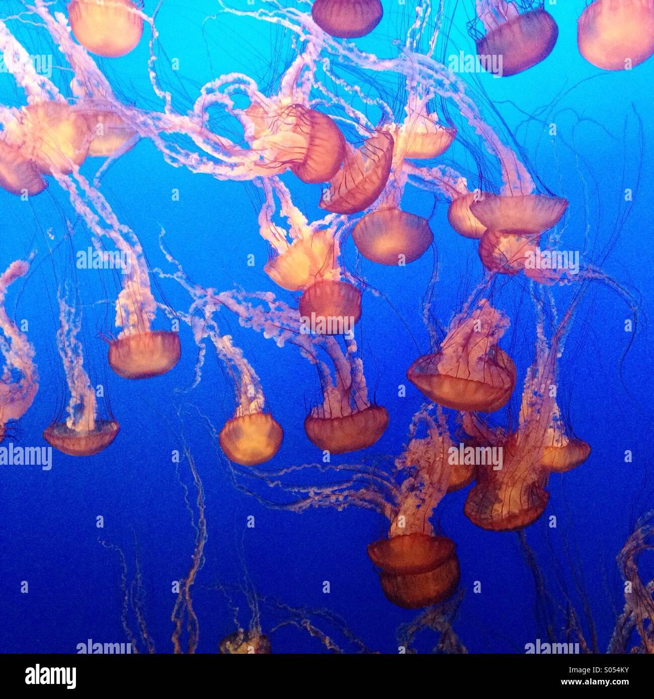 Jelly fish presentano a Monterey Bay Aquarium Immagini Stock