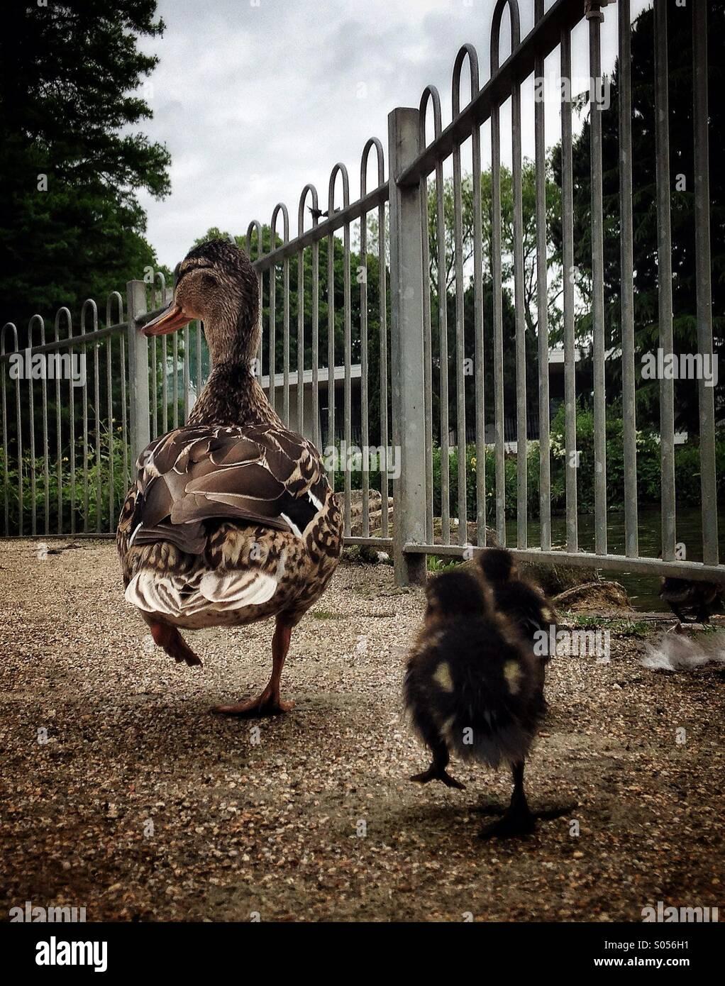 Due pulcini seguire la loro madre duck Immagini Stock